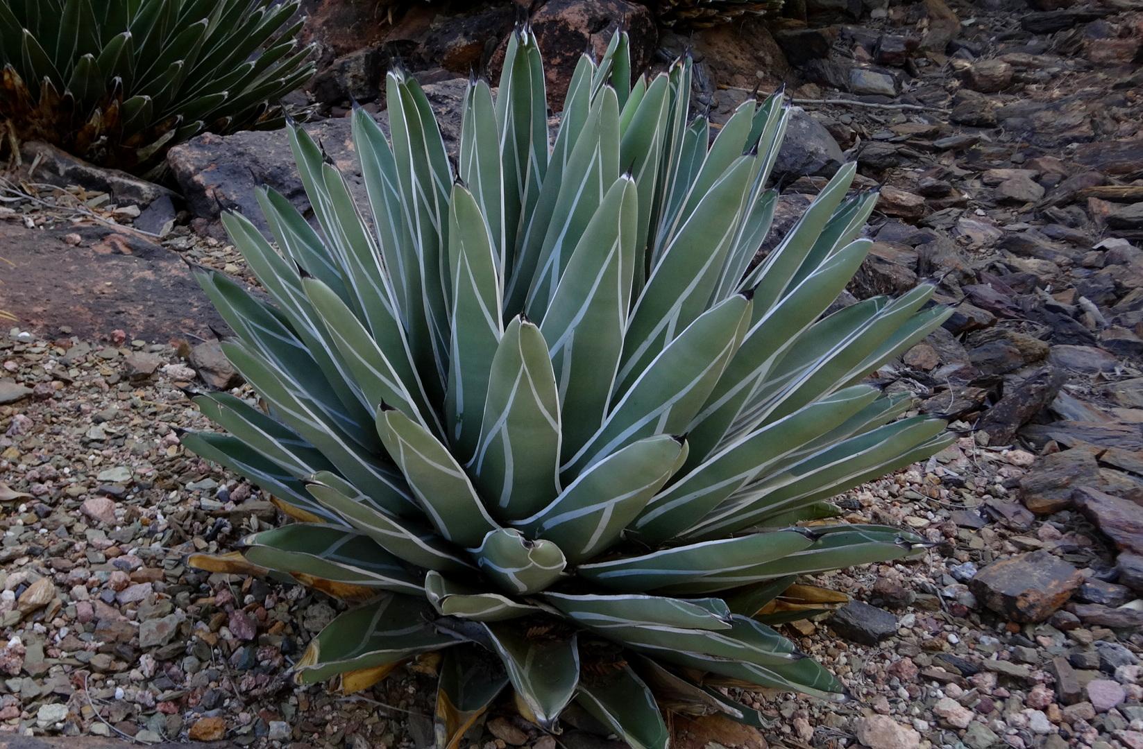 A beautiful, fully mature  Agave nickelsiae  at the Desert Botanical Garden, Phoenix, Arizona.