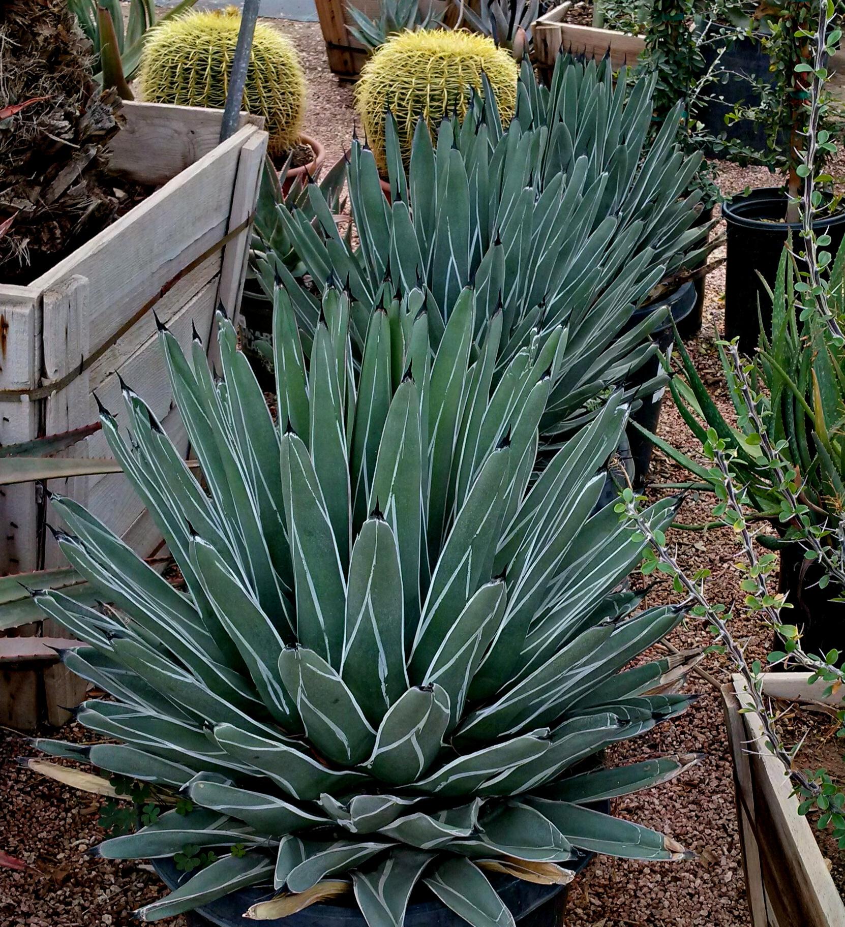 Agave nickelsiae P & M Nursery.jpg