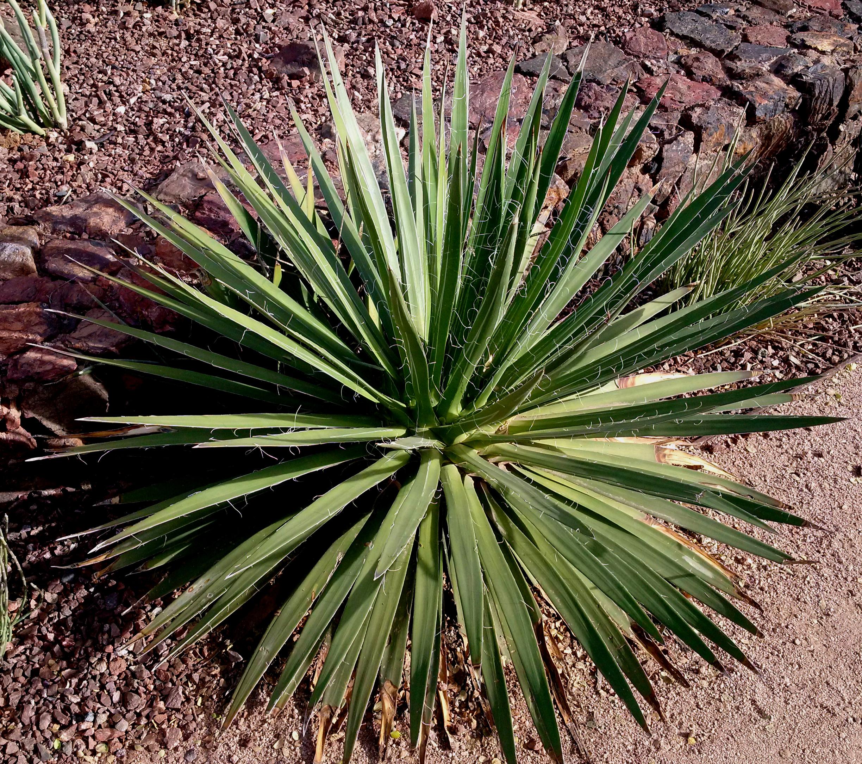 A large  Agave colimana , Desert Botanical Garden, Phoenix, Arizona.