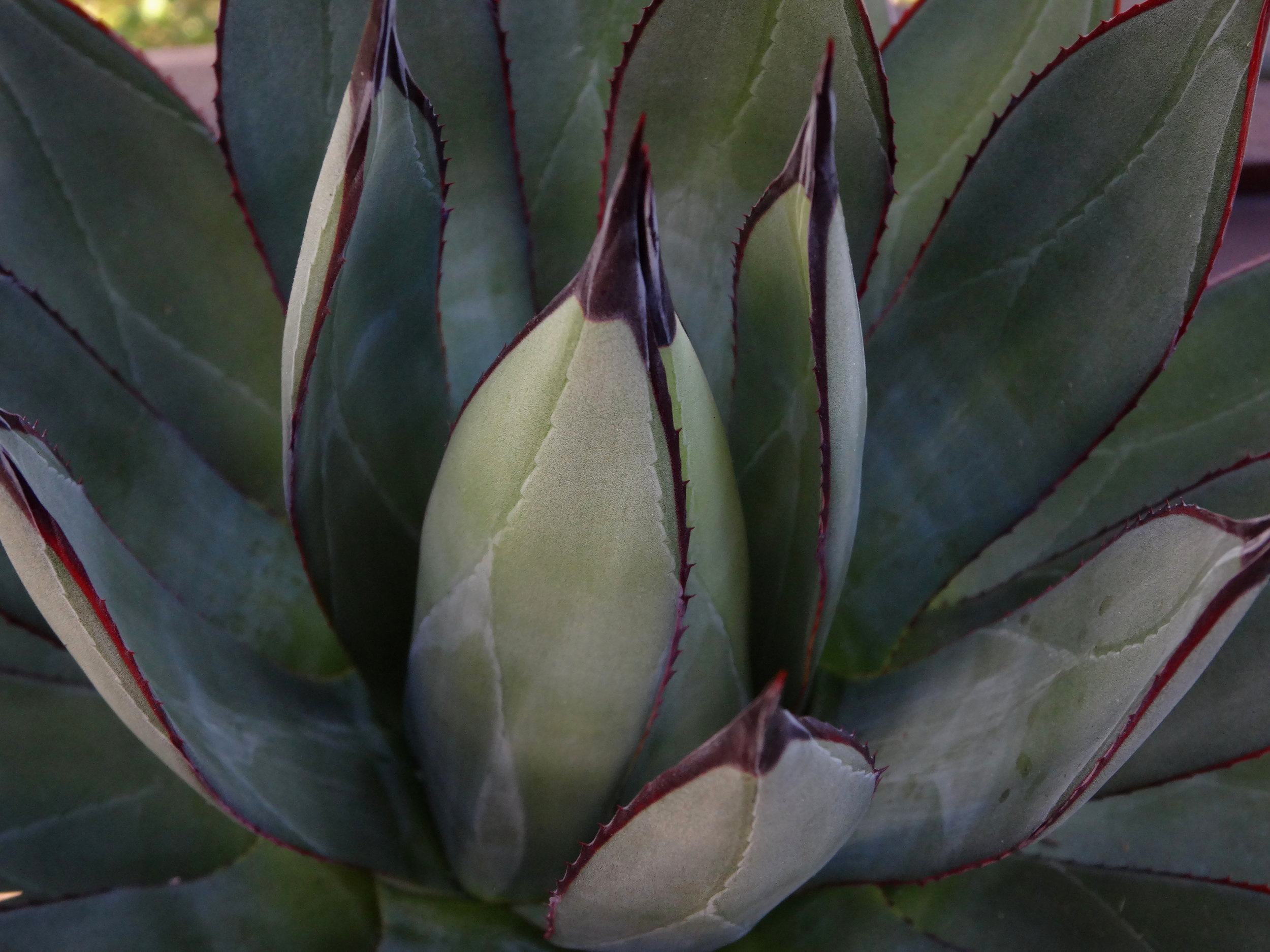 Agave  'Blue Ember' leaf detail, summer color. Note continuous marginal teeth to base of terminal spines. Author's collection.