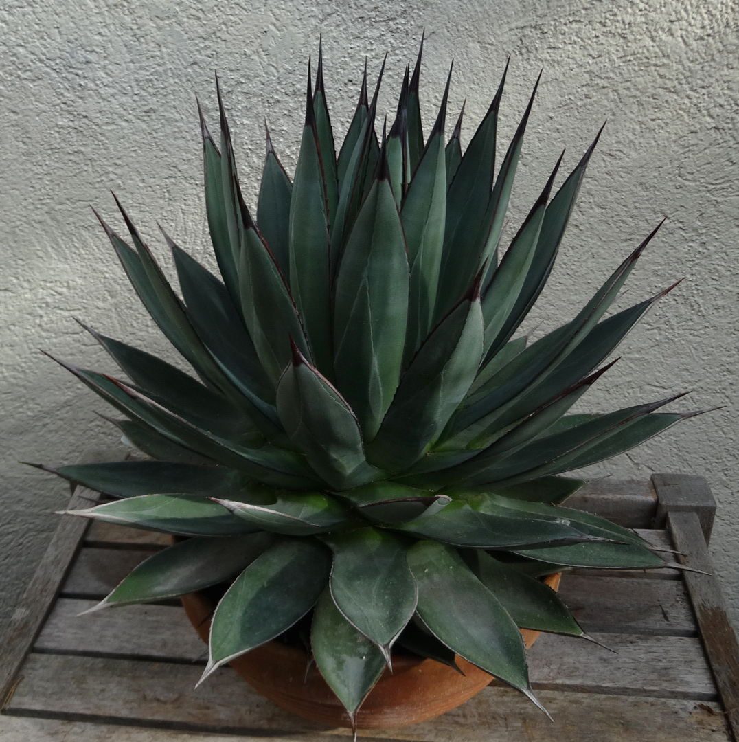 Agave  'Blue Ember', young adult in winter color. Note the bud imprinting and faint cross-bands evident on the leaves, even under cool and wet conditions. Author's collection.