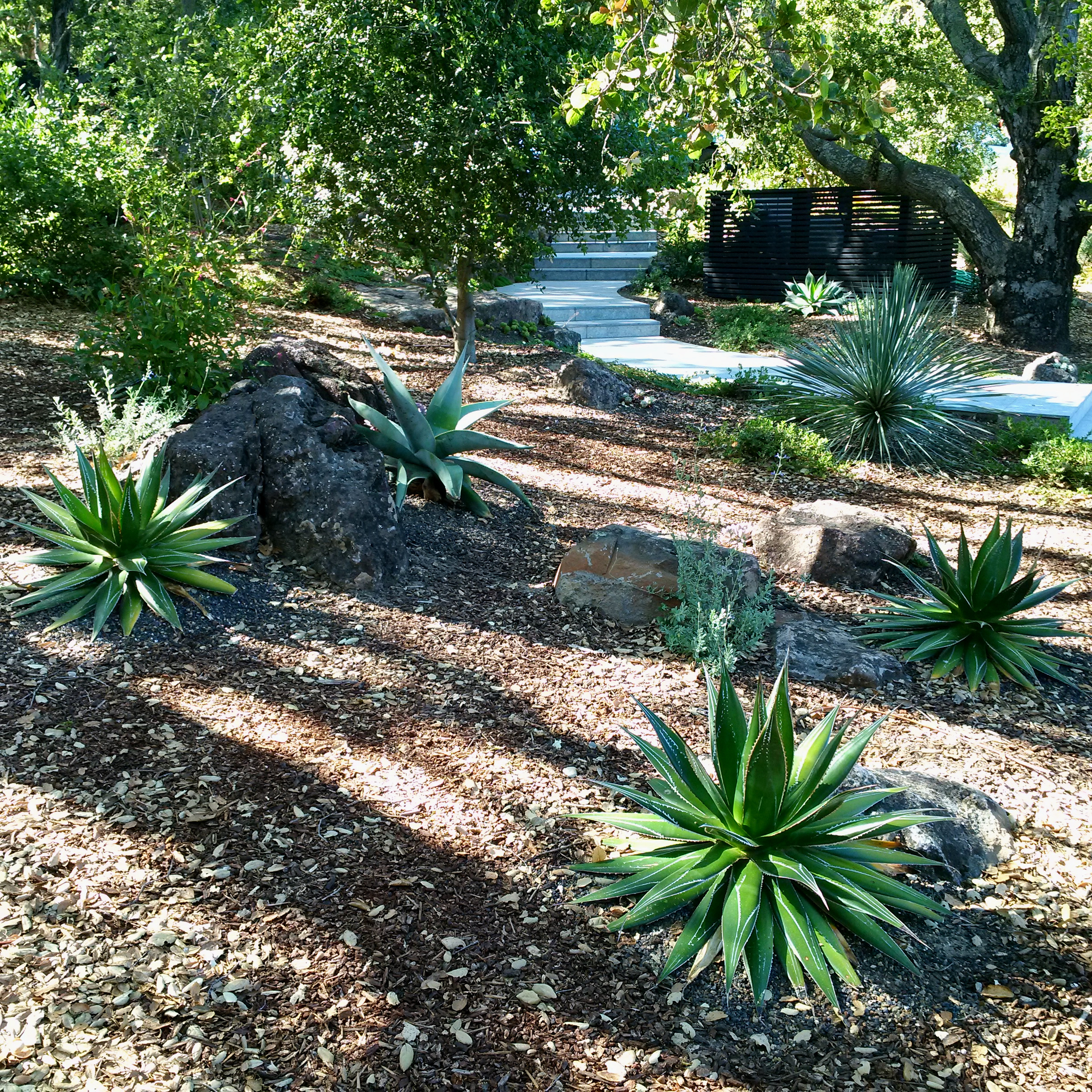 Use of overhead canopy and basalt boulders as heat sinks to successfully grow tropical agave species ( Agave impressa  and  A. guiengola  shown) in a garden that regularly experiences sub-30 degree F winter lows. Privare garden on the Peninsula, San Francisco Bay Area, California. Author's design.
