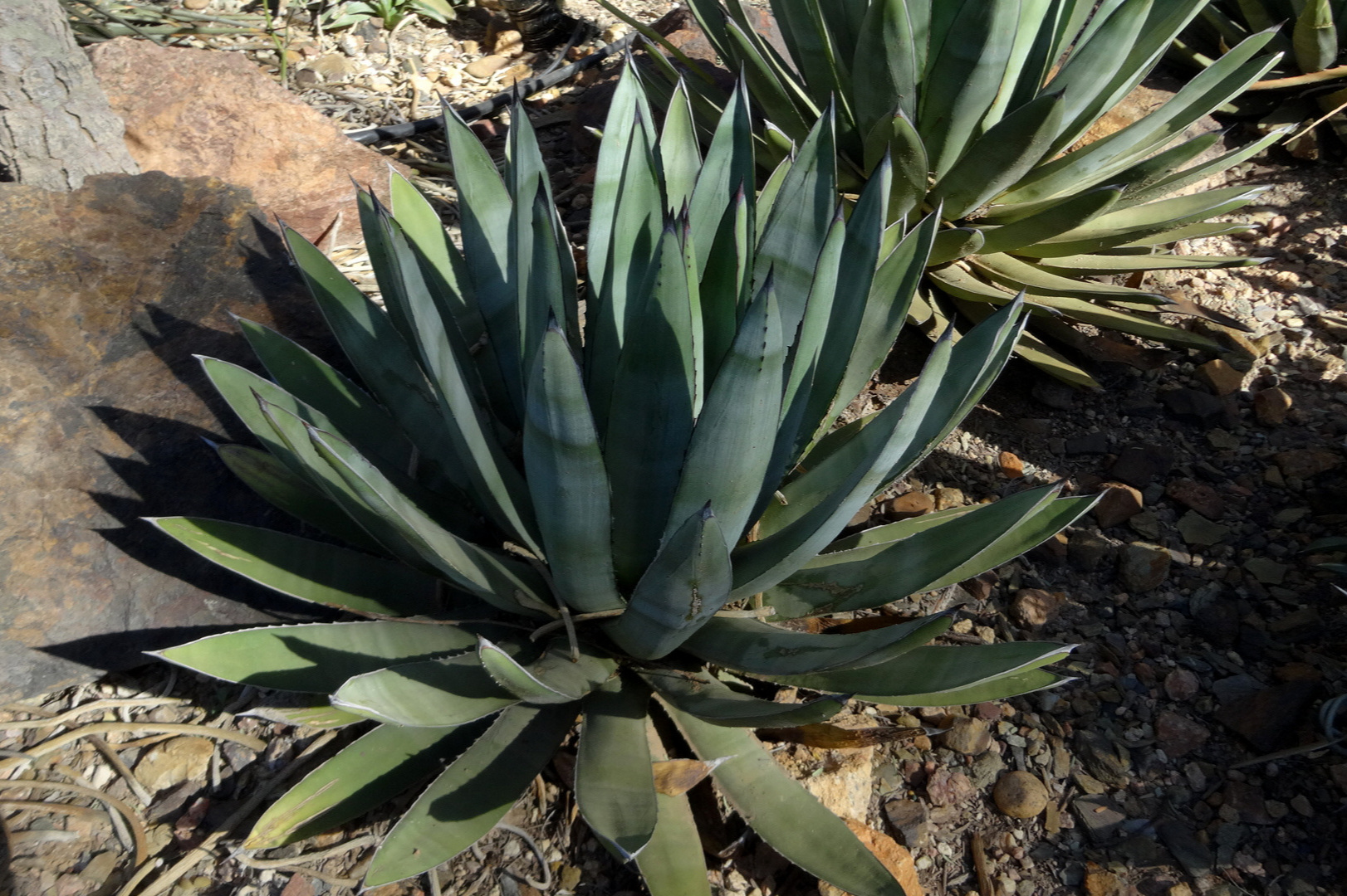 Near mature  Agave  cf. 'Little Shark' at the Desert Botanical Garden, Phoenix, Arizona. Note the short rows of small black tubercles on the lower leaf tips tips of both this example and the previous plant.