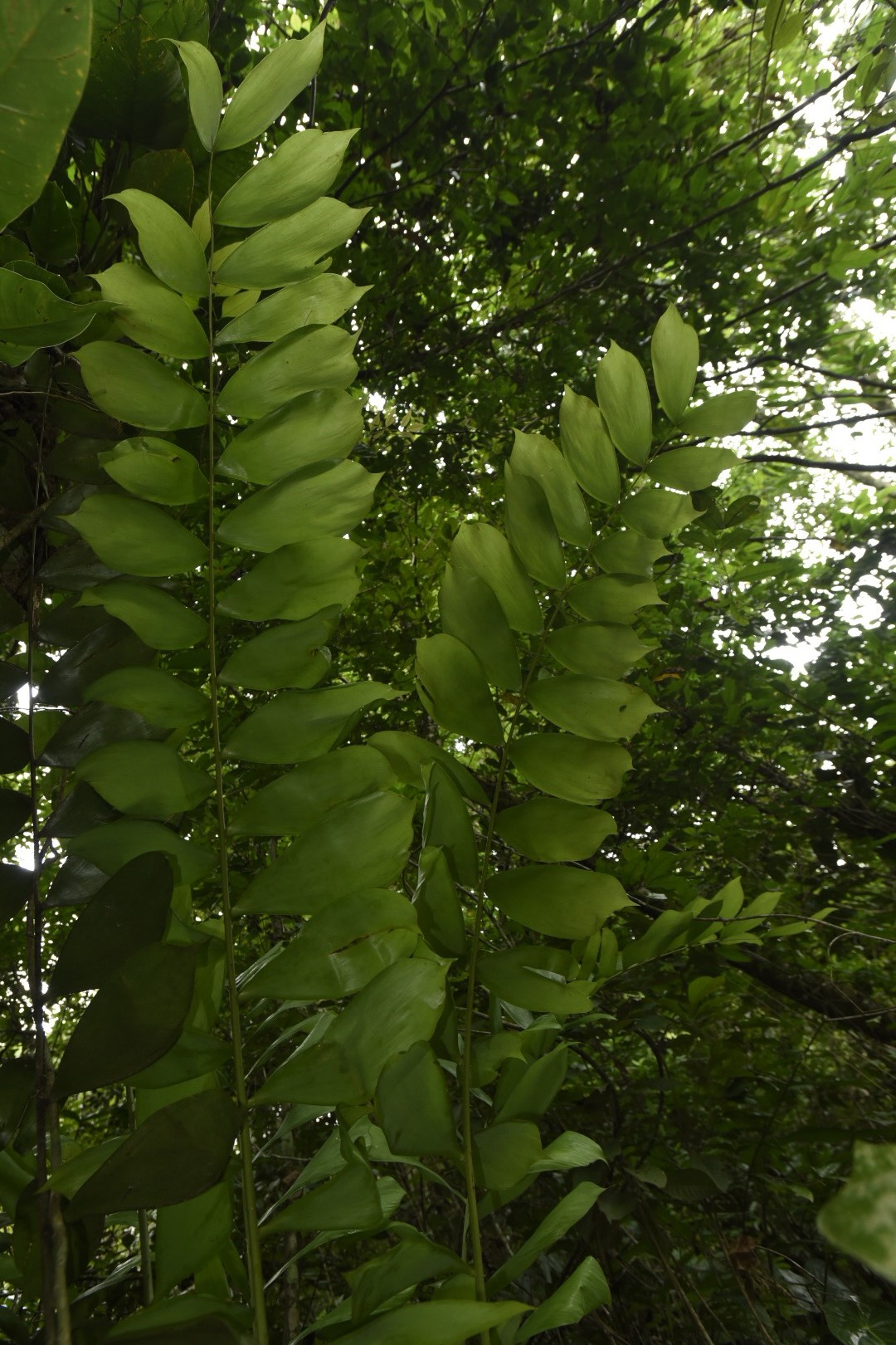 Ceratozamia hondurensis.jpg