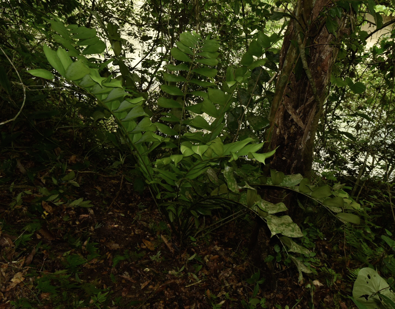A mature  Ceratozama hondurensis  in nature, Caribbean lowlands of northern Honduras. Image: F. Muller.
