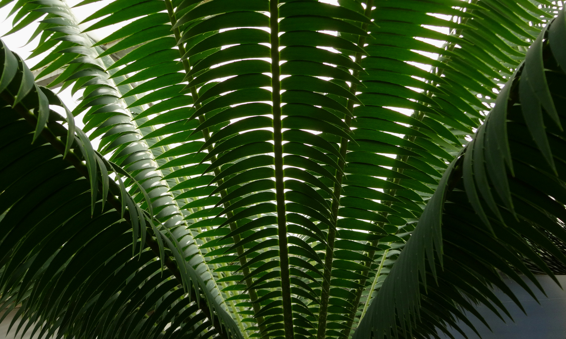 Dioon mejiae leaf bases in cultivation.JPG
