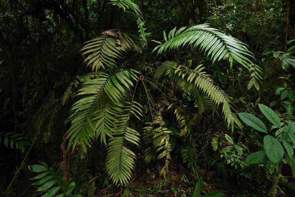 A large adult female  Zamia cf. fairchildiana , middle elevation cloud forest, southwestern Costa Rica. Image: F. Muller.