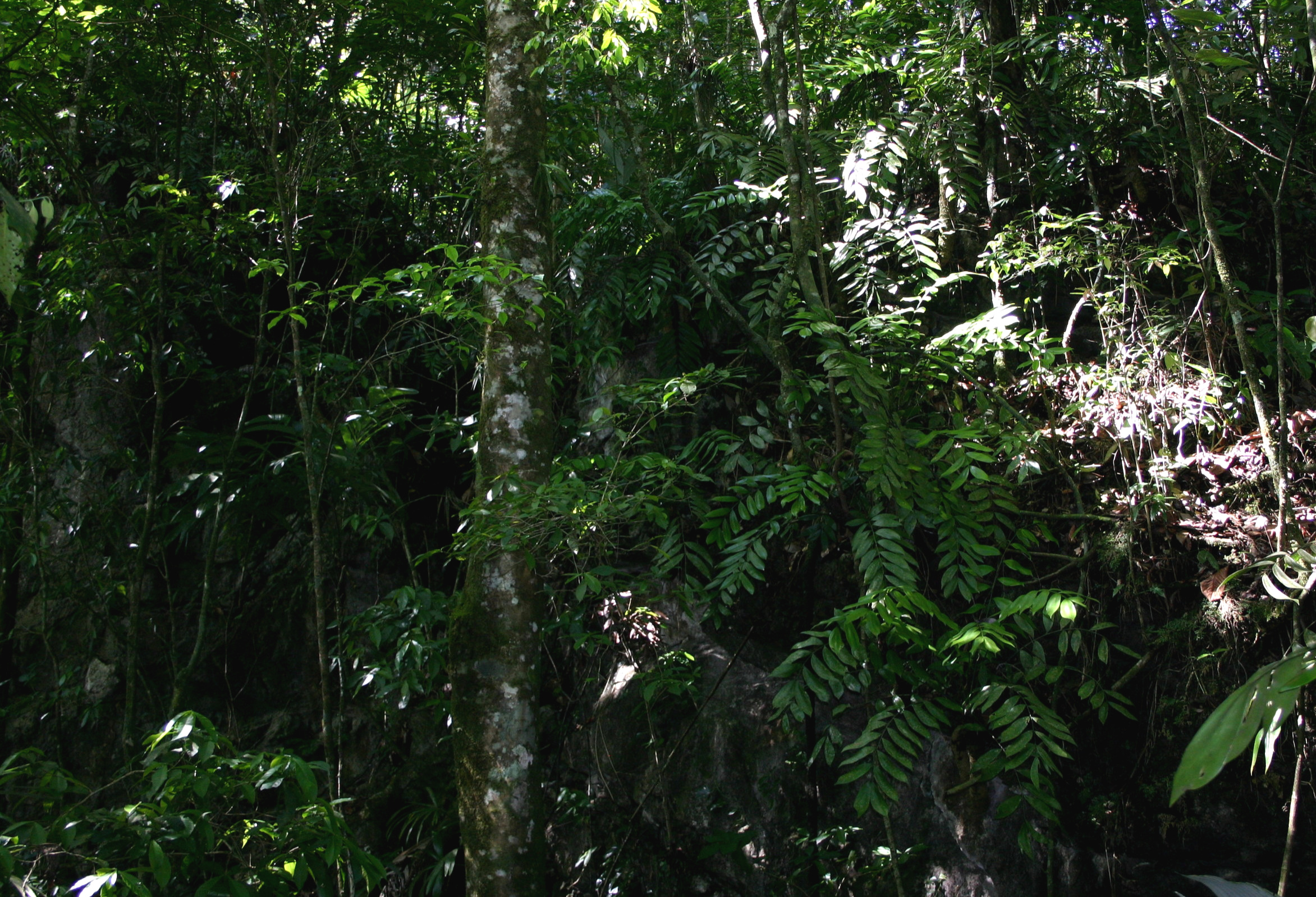 One aspect of a very large population of  Zamia tuerckheimi i near the type locality in central Guatemala. Plants growing along the summit and face of of a forested karst dropoff. Coning-sized plants are visible in the understory from upper left to top and bottom right.
