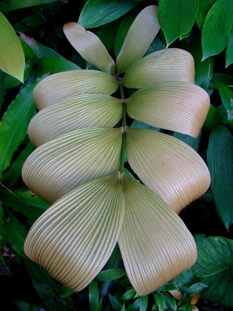 New leaf on Zamia hamannii. Image: C. Hall and A. Dearden.