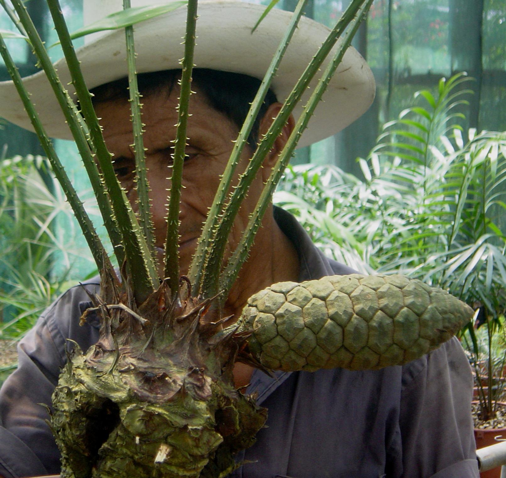 Zamia monticola female cone.JPG