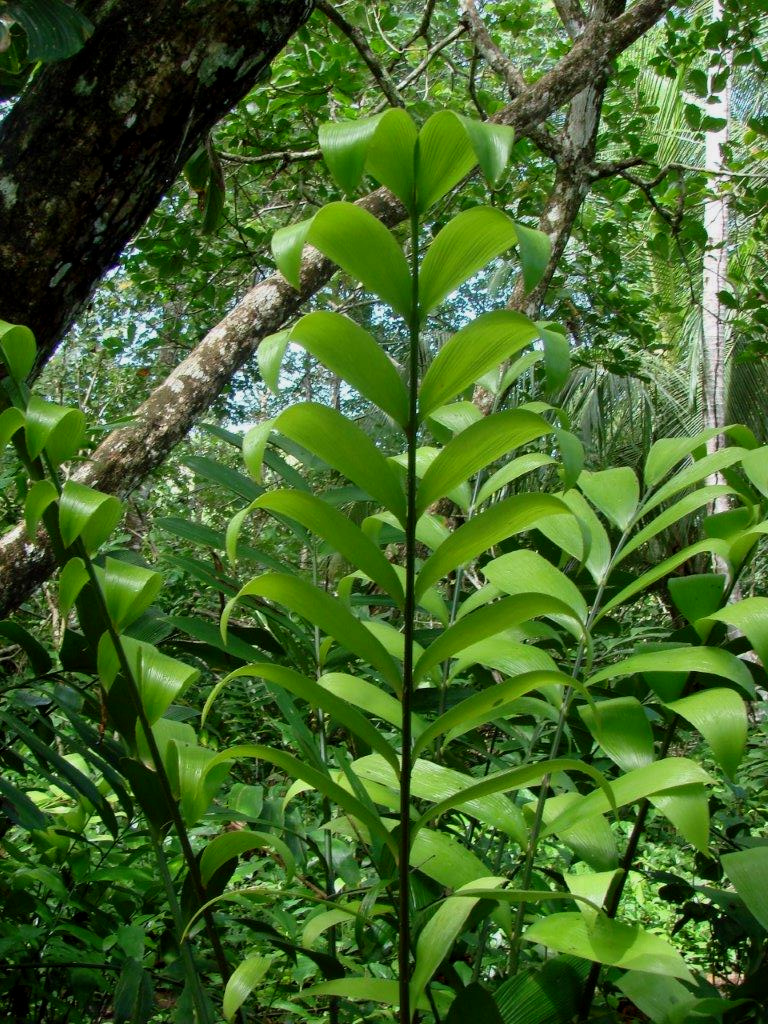 Newly emerging mature leaves on  Zamia nesophila  in nature in Caribbean lowlands, Panamá. Image: C. Hall and A. Dearden.