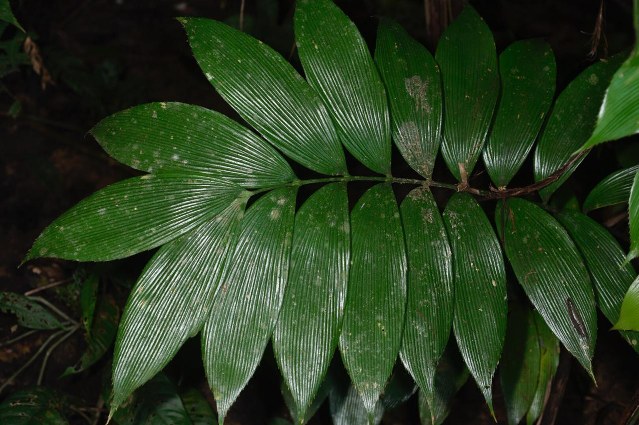 Leaf detail of mature  Zamia neurophyllidia , Caribbean lowlands of Costa Rica. Image: F. Muller.
