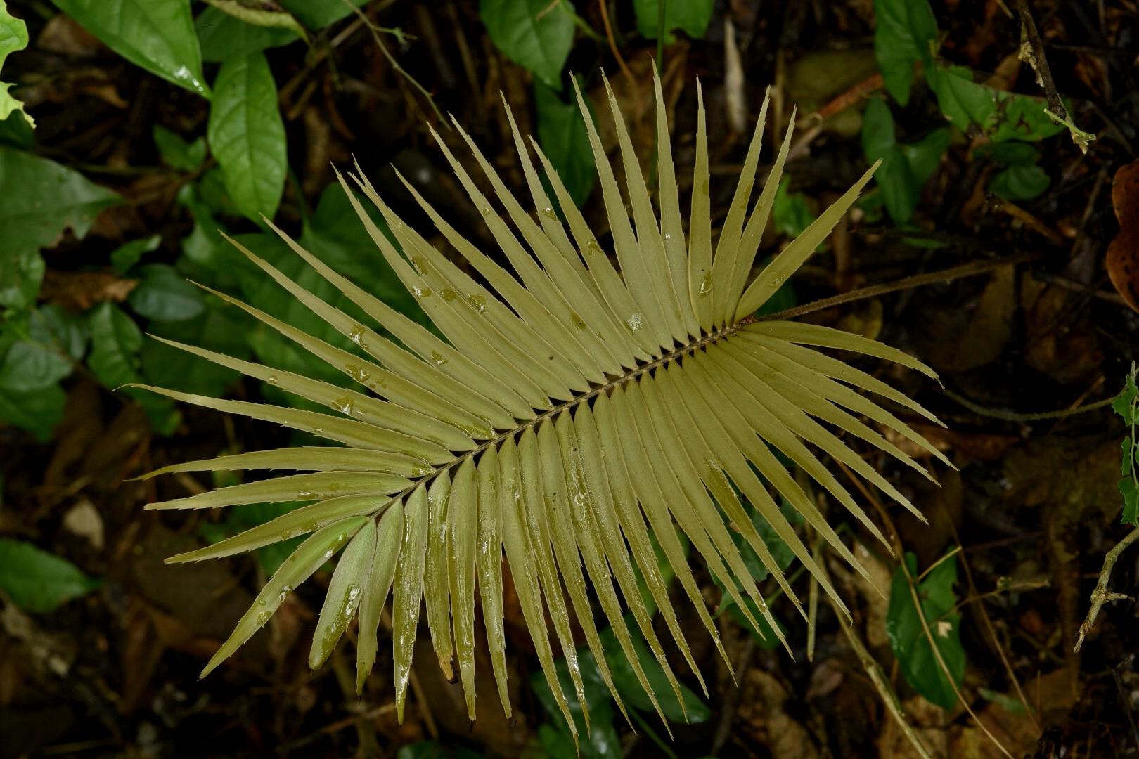 A newly-emerged leaf of  Zamia oreillyi  in habitat, northern Honduran lowlands. Image: F. Muller.