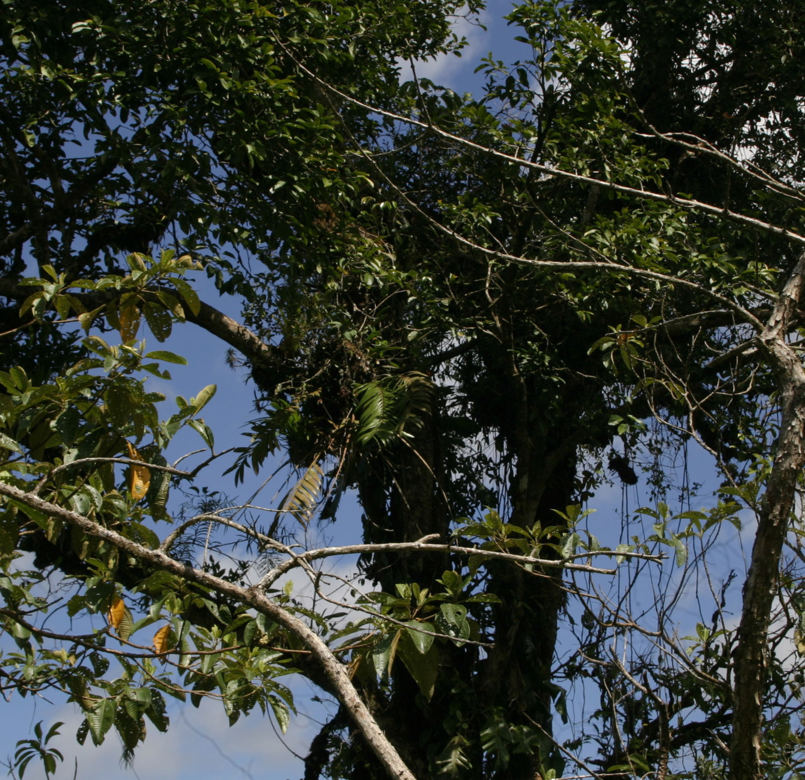 A pair of  Zamia pseudoparasitica  growing in exposed high canopy in degraded TRF, Caribbean lowlands, Panamá.