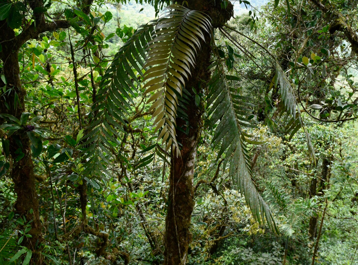 A mature  Zamia pseudoparasitica  growing in the understory, low elevation cloud forest, western Panamá. Image: F. Muller.