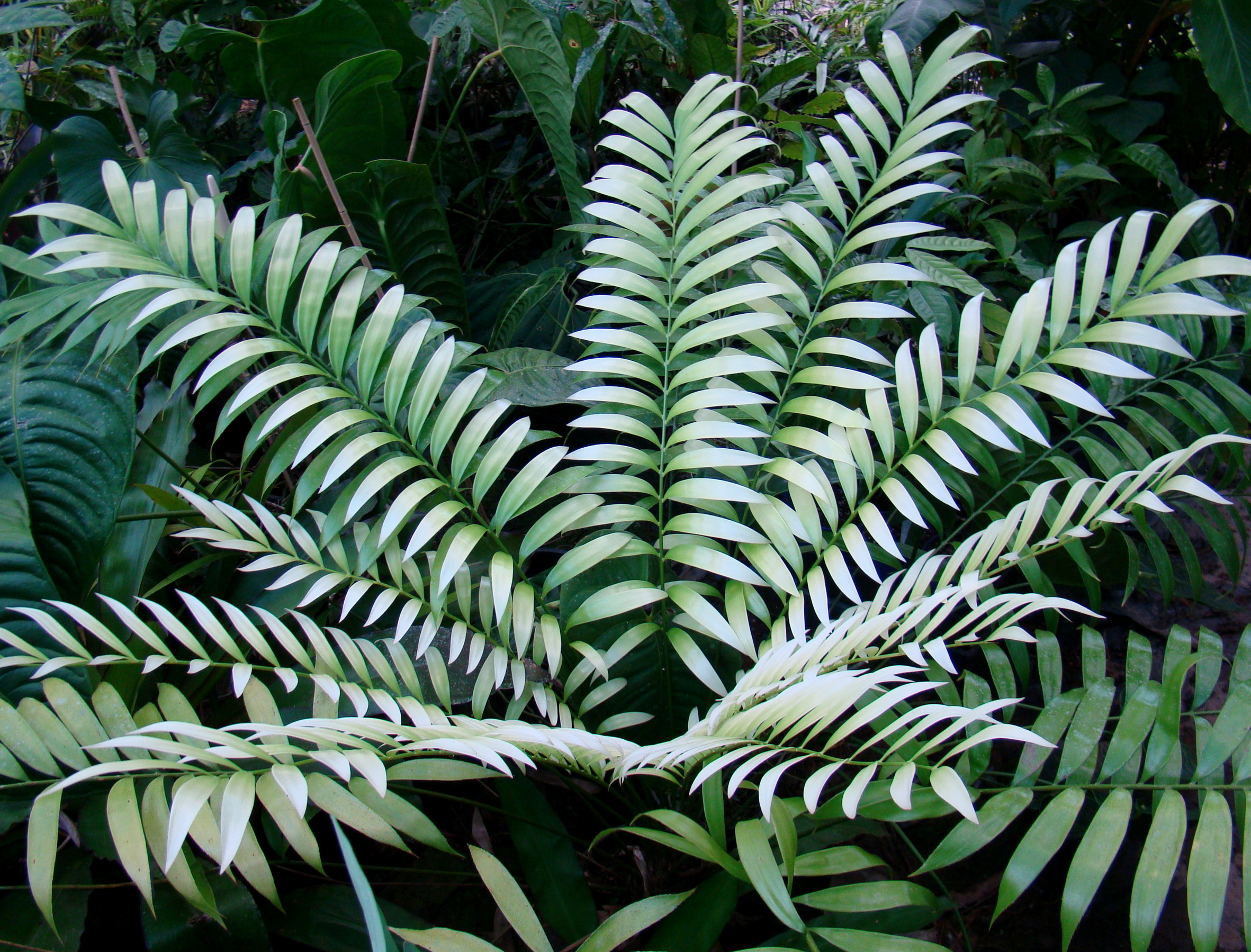 """"""" El Blanco """". The snow white, newly emergent leaves that are diagnostic for most populations of  Zamia stevensonii . Cultivated mature plant in private collection in northeastern Queensland, Australia. Image: C. Hall and A. Dearden."""