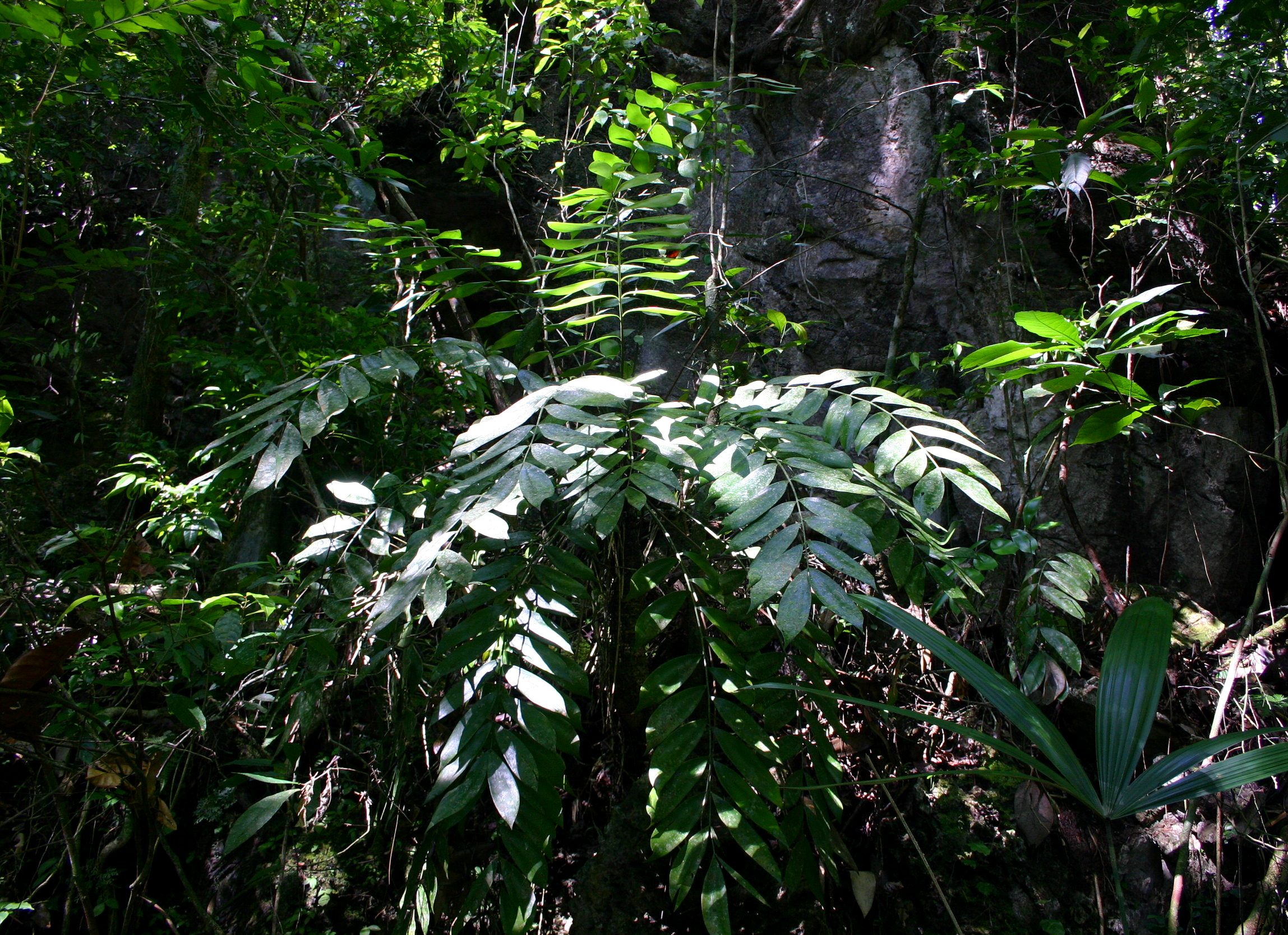 Large, trunking  Zamia tuerckheimii  near the type locality. Compare leaves with image below.