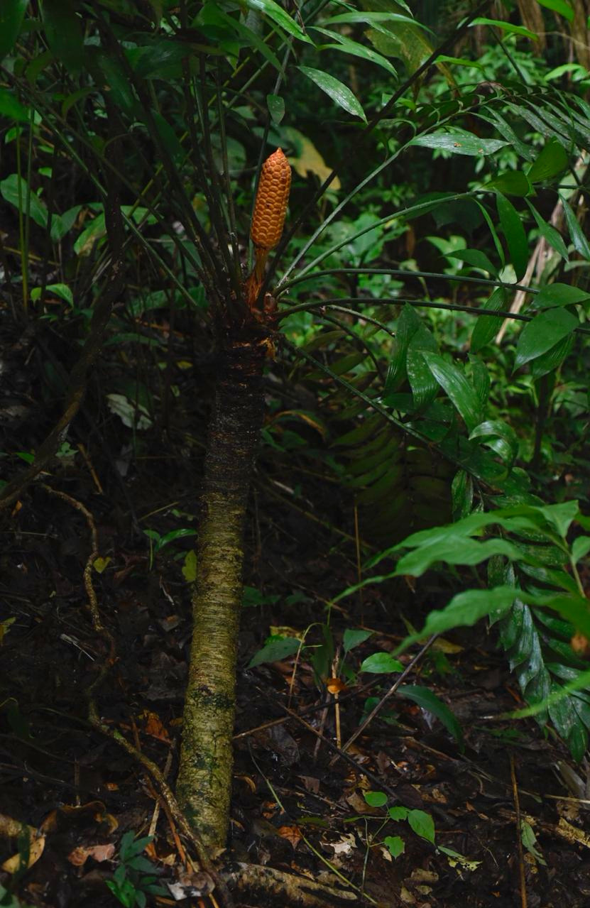 Trunking female  Zamia neurophyllidia  in southeastern Costa Rica. Image: F. Muller.
