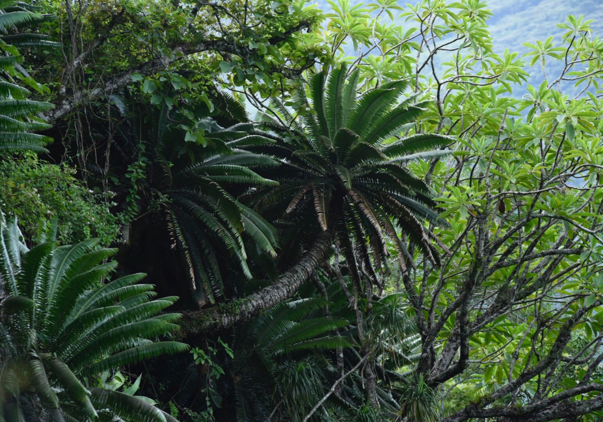 Colonial, very old  Dioon spinulosum  growing with  Beaucarnea cf. pliabilis  and  Plumeria rubra  on a cliff in eastern México. Image: F. Muller.