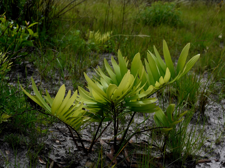 Zamia prasina  in white sand savanna, Belize. Image: F. Muller.
