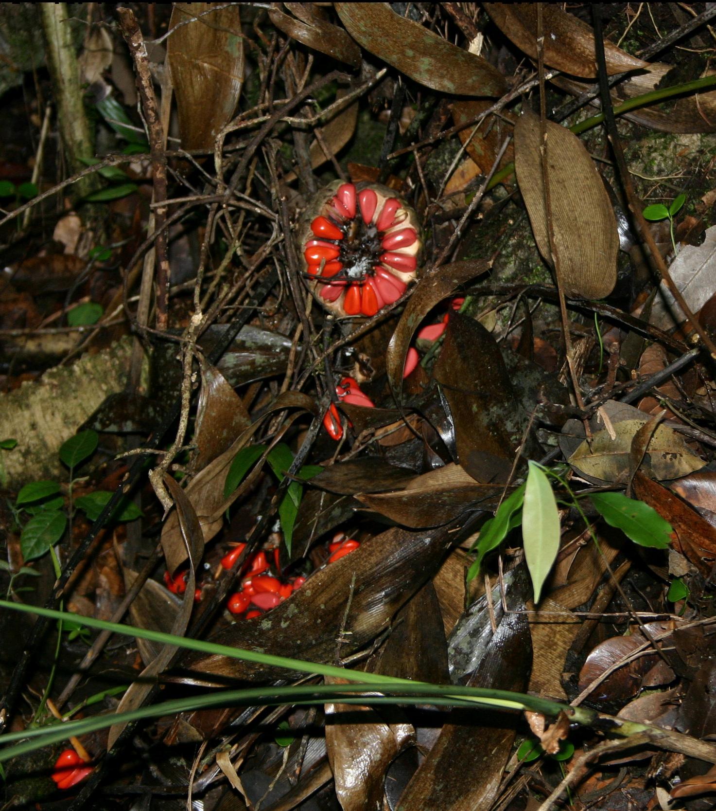 Fallen and disintegrating mature wild cone of  Zamia tuerckheimii  in central Guatemala.