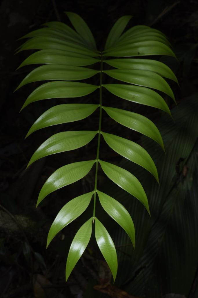 Zamia fairchildiana new leaf.jpg