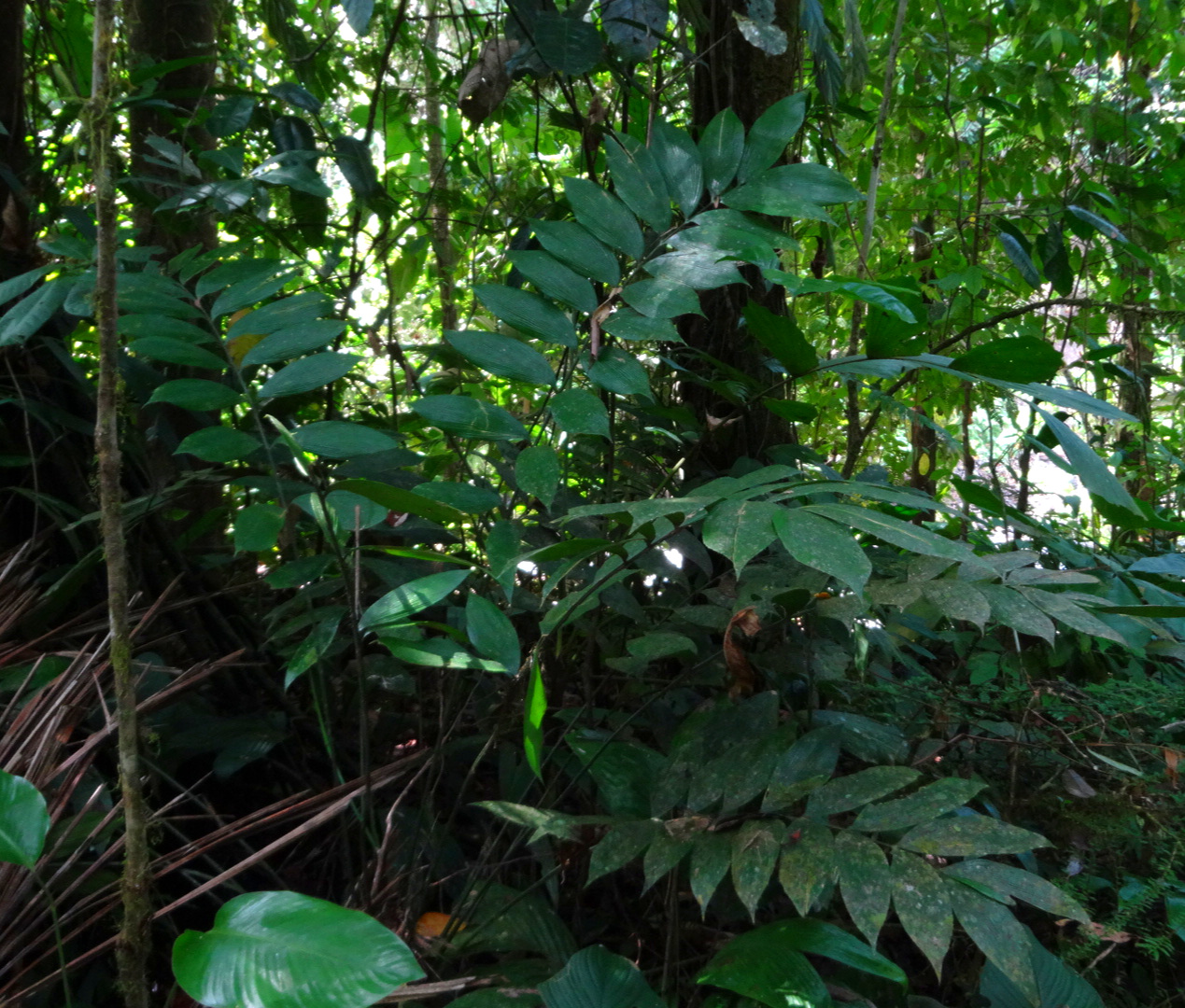Short-trunking  Zamia neurophyllidia  in climax foothill TRF of eastern Costa Rica.
