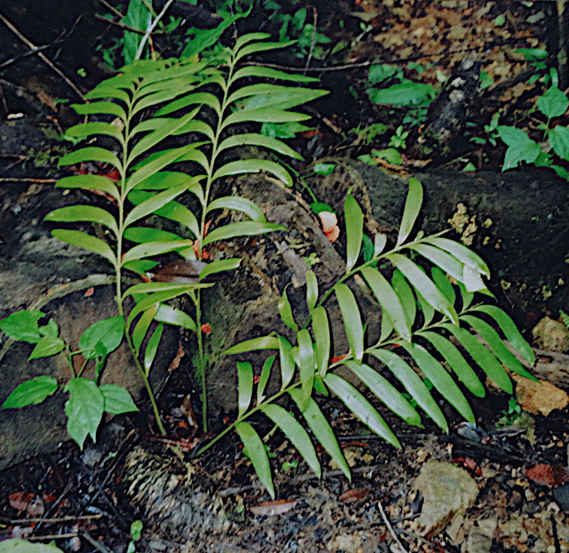 A digitalized image of a nearly 20 year-old print photograph taken by the author of a fallen  Zamia pseudoparasitica  re - rooted and with a new canopy, growing as a terrestrial in central Panamanian cloud forest.