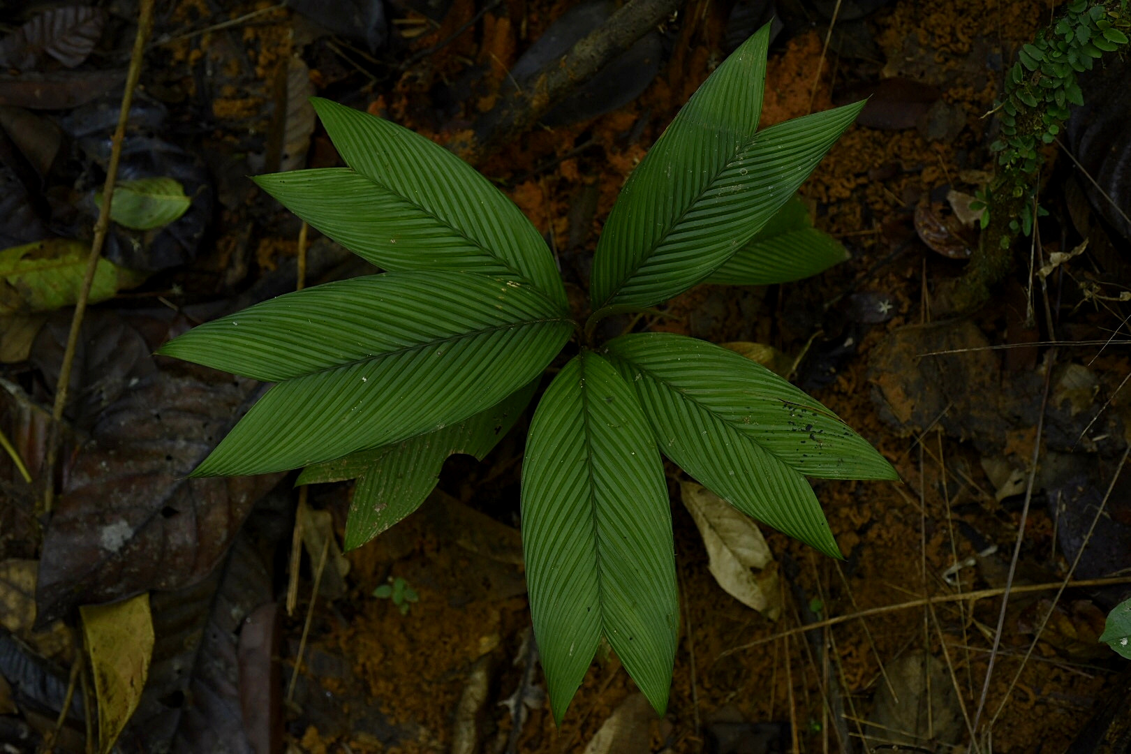 Juvenile  Geonoma cuneata subsp. indivisa , Guna Yala Comarca, Panamá (Image F. Muller).