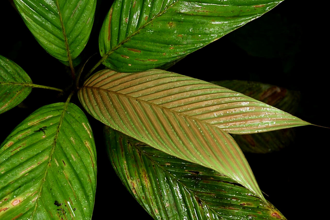 Geonoma monospatha , short simple leaf form, Veraguas Province, Panamá. This diminutive morph occurs alongside typical taller, pinnate forms at localities in western Panamá, including the one shown above (Image: F. Muller).