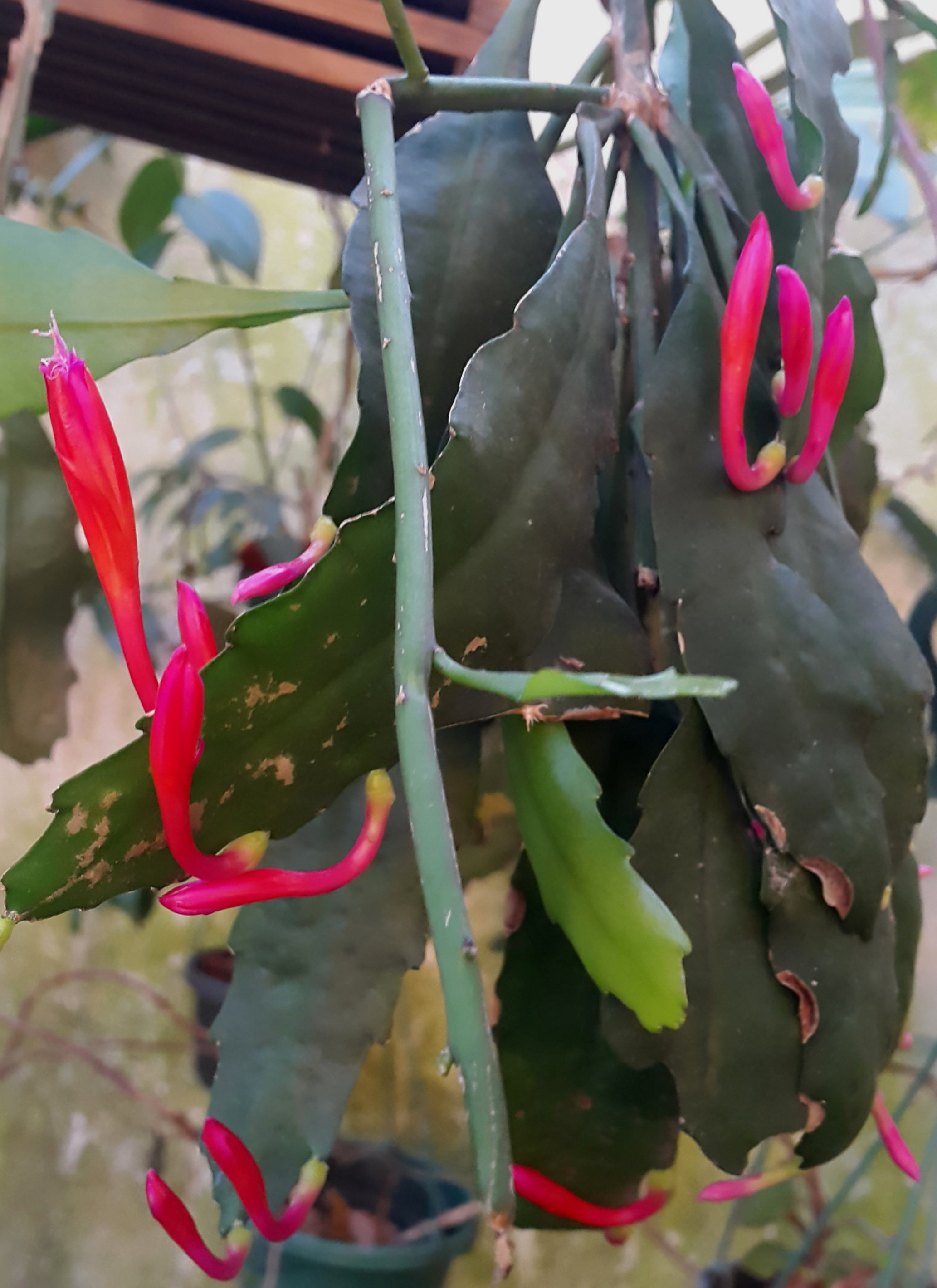 The amazing carmine-colored, magenta-tipped corollas of a cultivated  Disocactus eichlamii . Grower and image: J.J. Castillo.