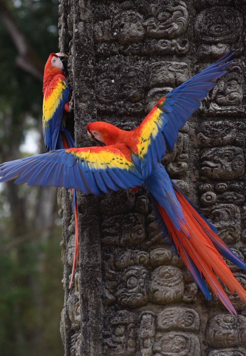 - Scarlet macaws (Ara macao) on Stela A at the Great Plaza, Copán, Honduras. Image: F. Muller.
