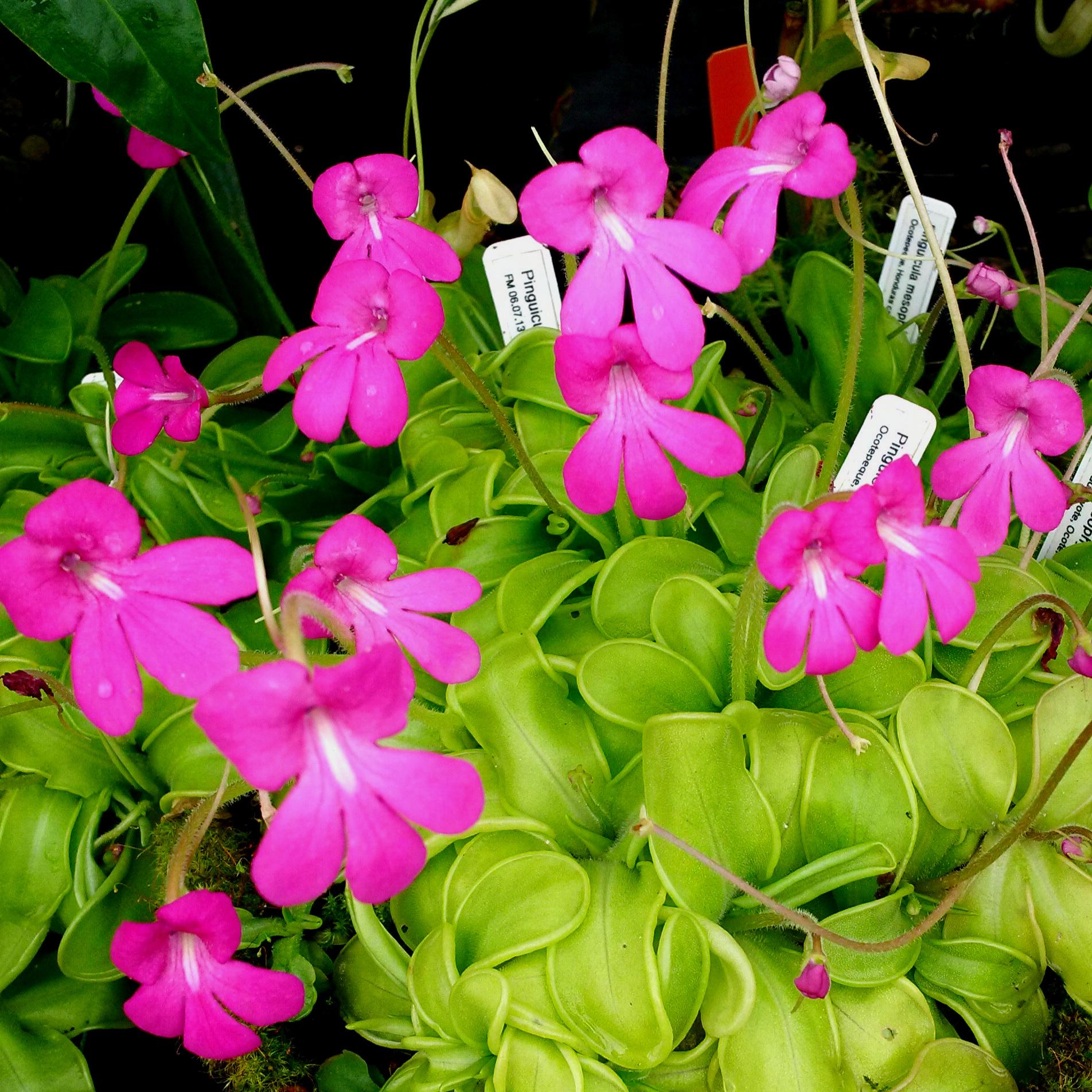 Select, seed-grown Honduran-origin  Pinguicula mesophytica  flowering in early July.