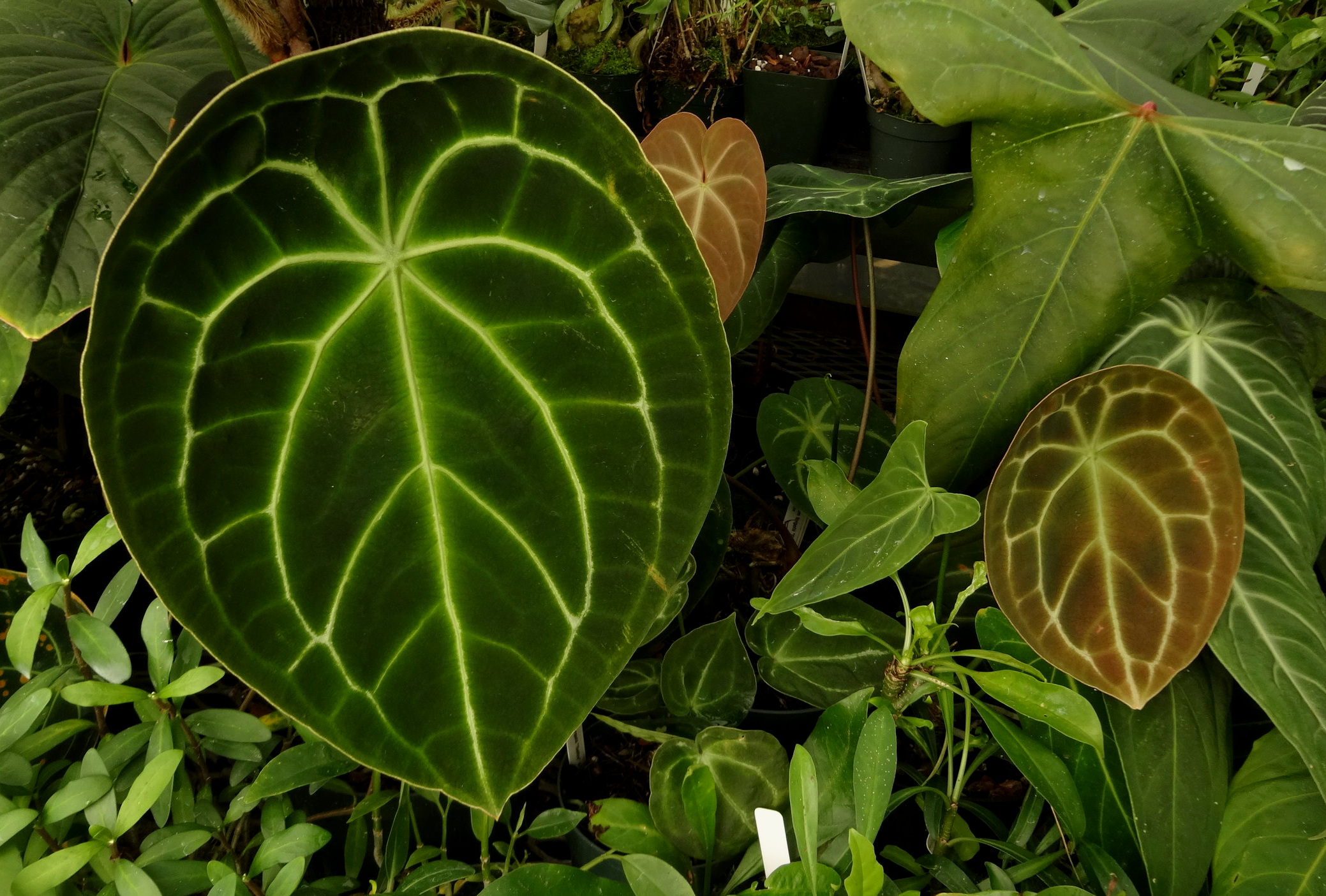 A pair of nearly orbicular-leaf, Colombian-origin  Anthurium forgetii  growing in the author's collection in California.