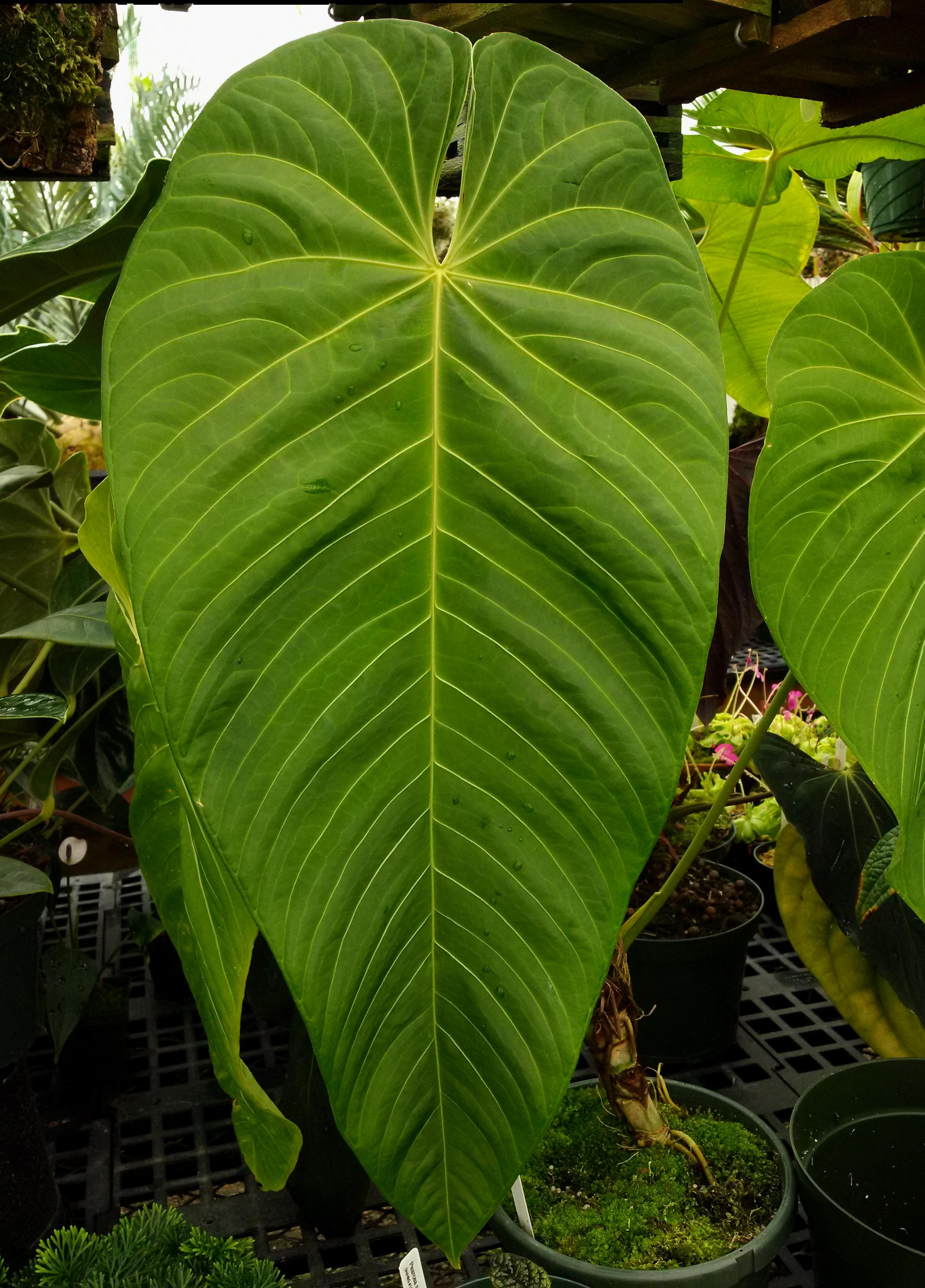 Anthurium Purple Velvet hybrid.jpg