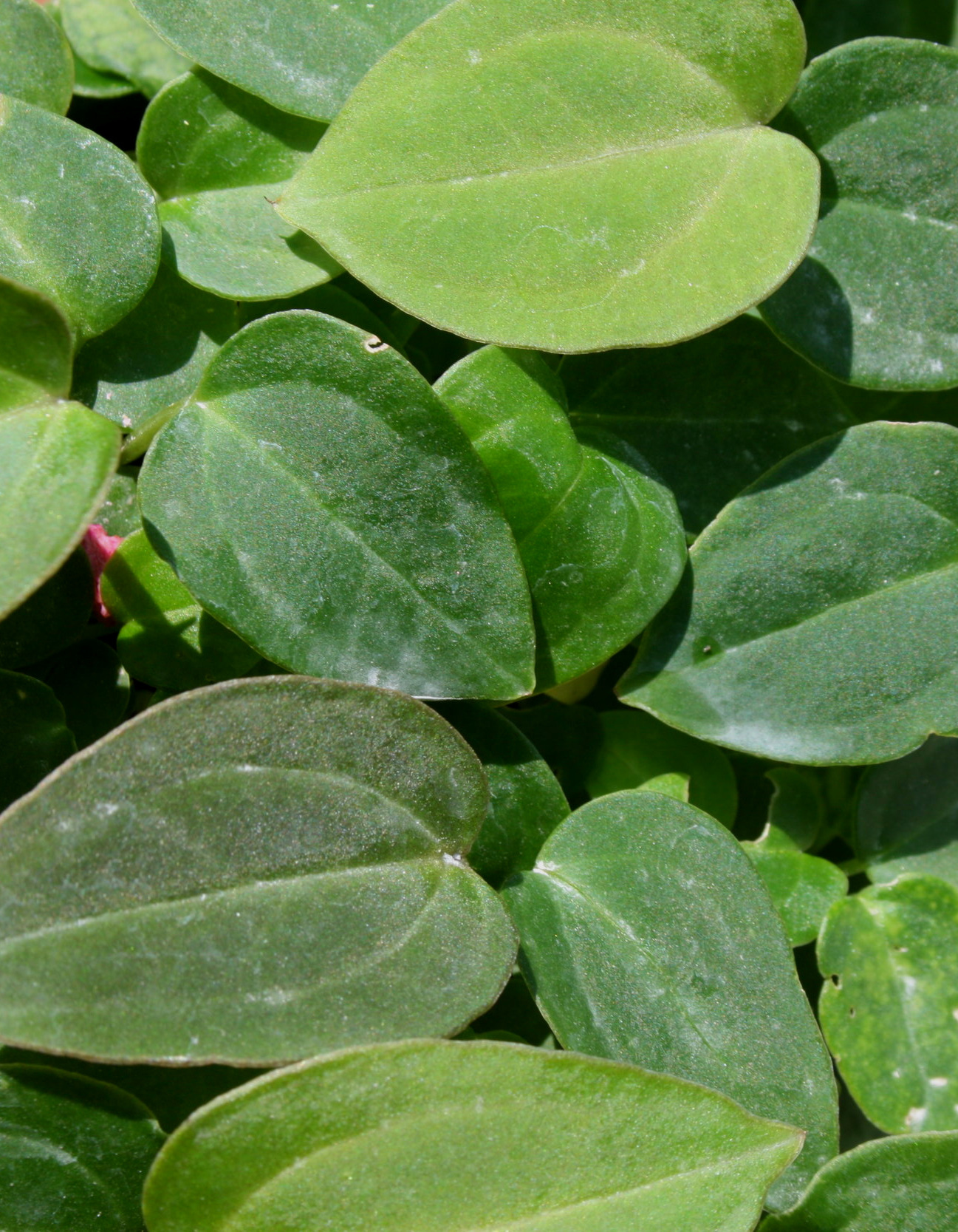 Anthurium regale x dressleri Jaunary 2010.JPG