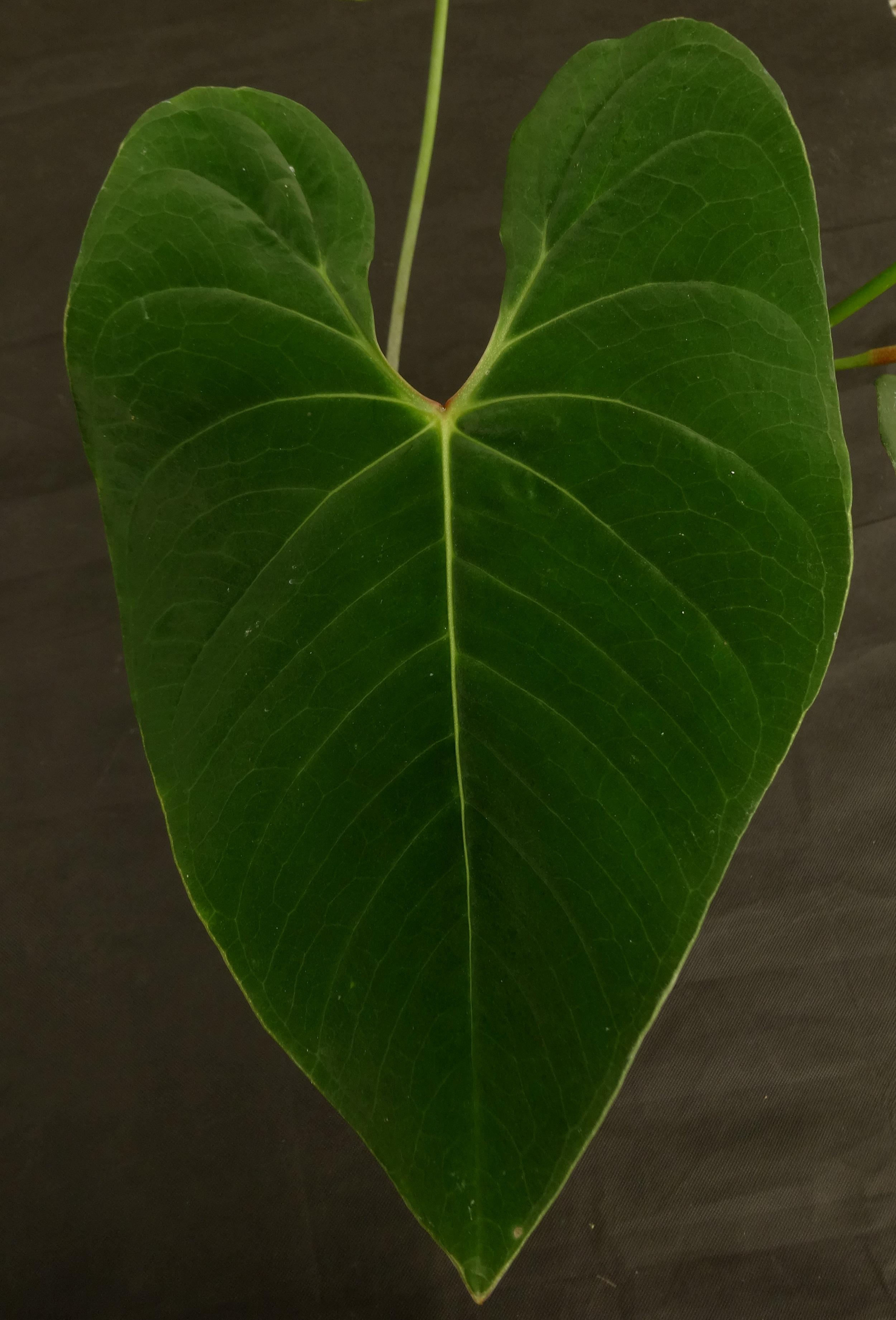 Anthurium sp. Velvet Peru.JPG