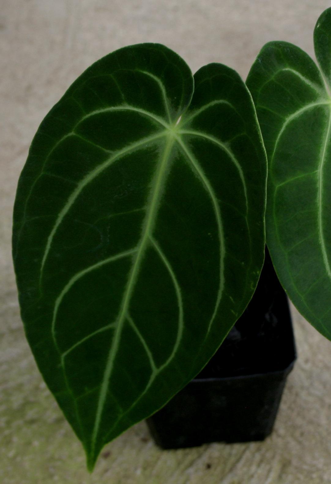 Anthurium warocqueanum x magnificum juvenile.jpg