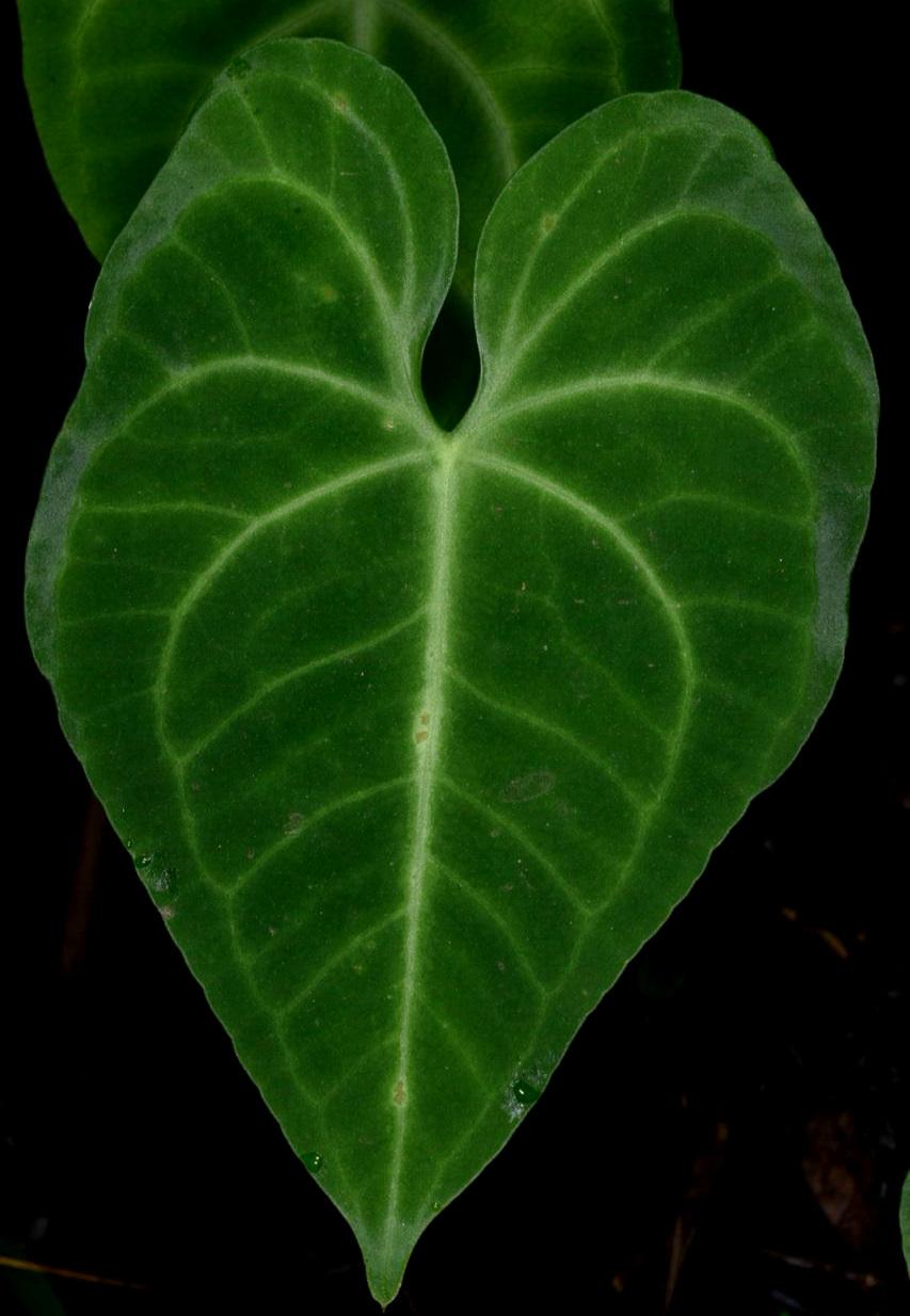 Anthurium leuconeurum 1000 m.jpg