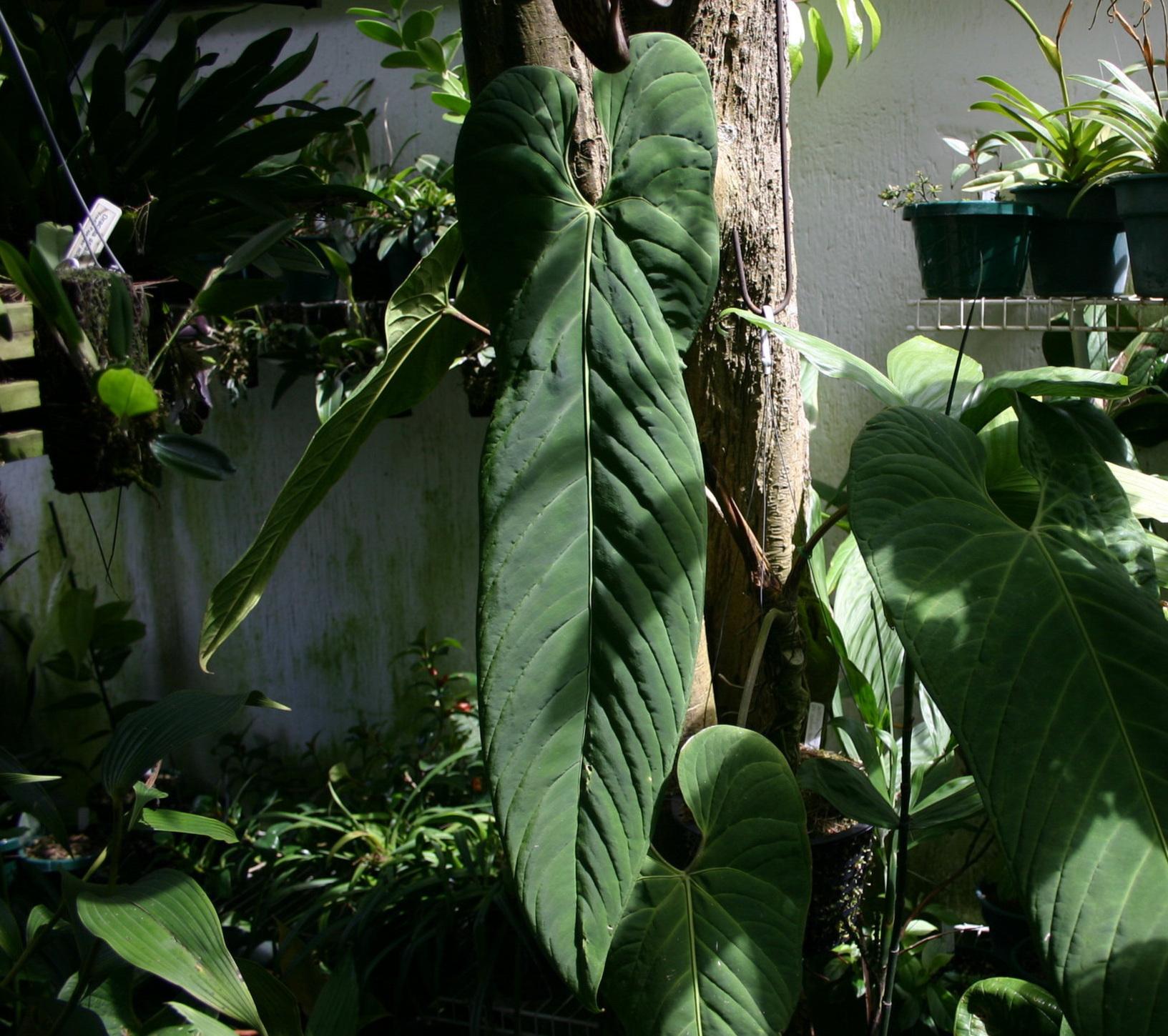 Anthurium panamense (2).jpg