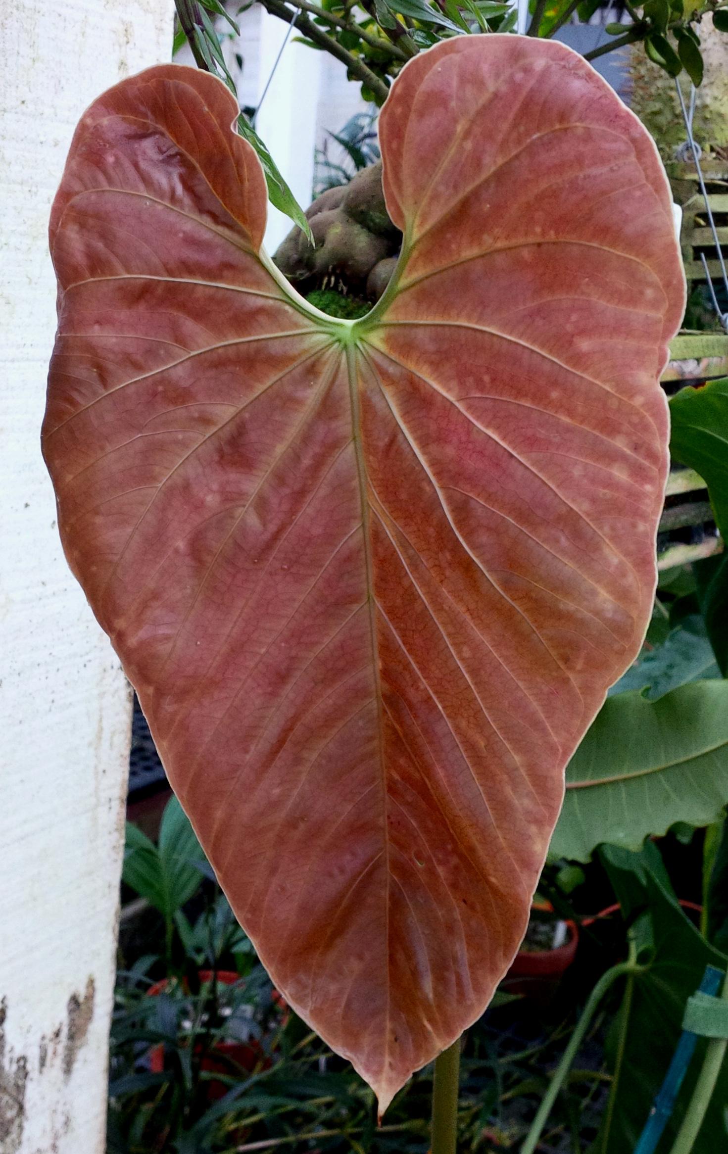 Anthurium triciafrankiae new leaf 2014.jpg
