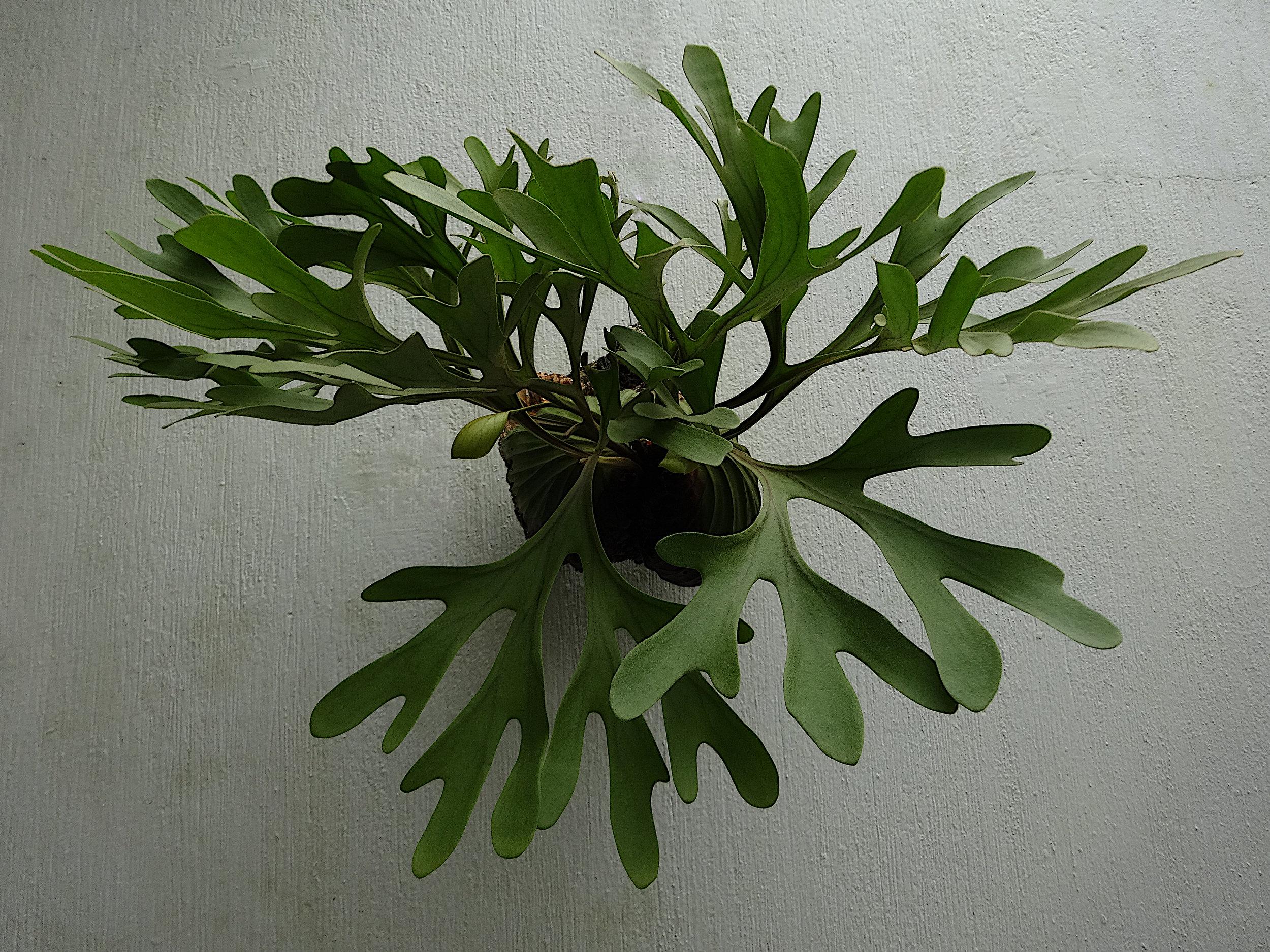 Platycerium ridleyi 2.JPG