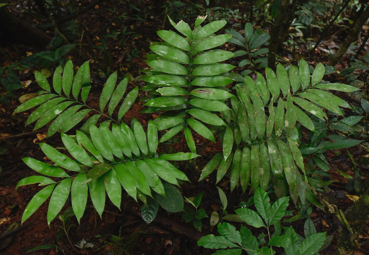 Young mature  Zamia stevensonii  at its upper elevational range in low cloud forest, central Panamá. As far as I have observed, this population does not have white new leaves.