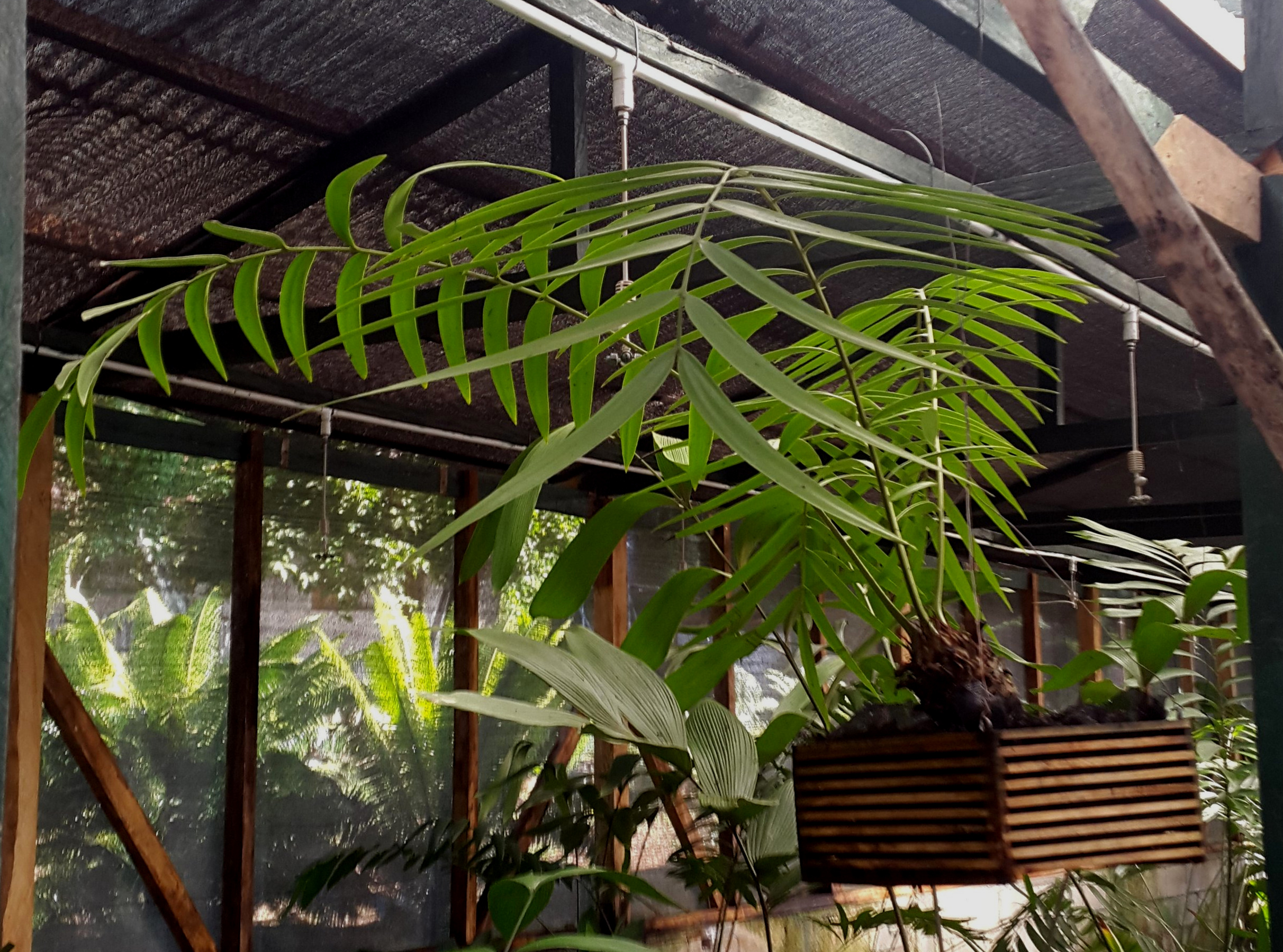 Eight year-old seed grown  Zamia pseudoparasitica , private collection, Guatemala. Image: J.J. Castillo.