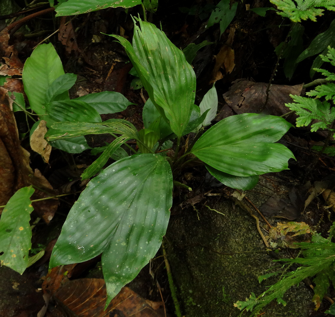 Dicranopygium cf. cuatrecasasianum , lowland rainforest, western Panamá.