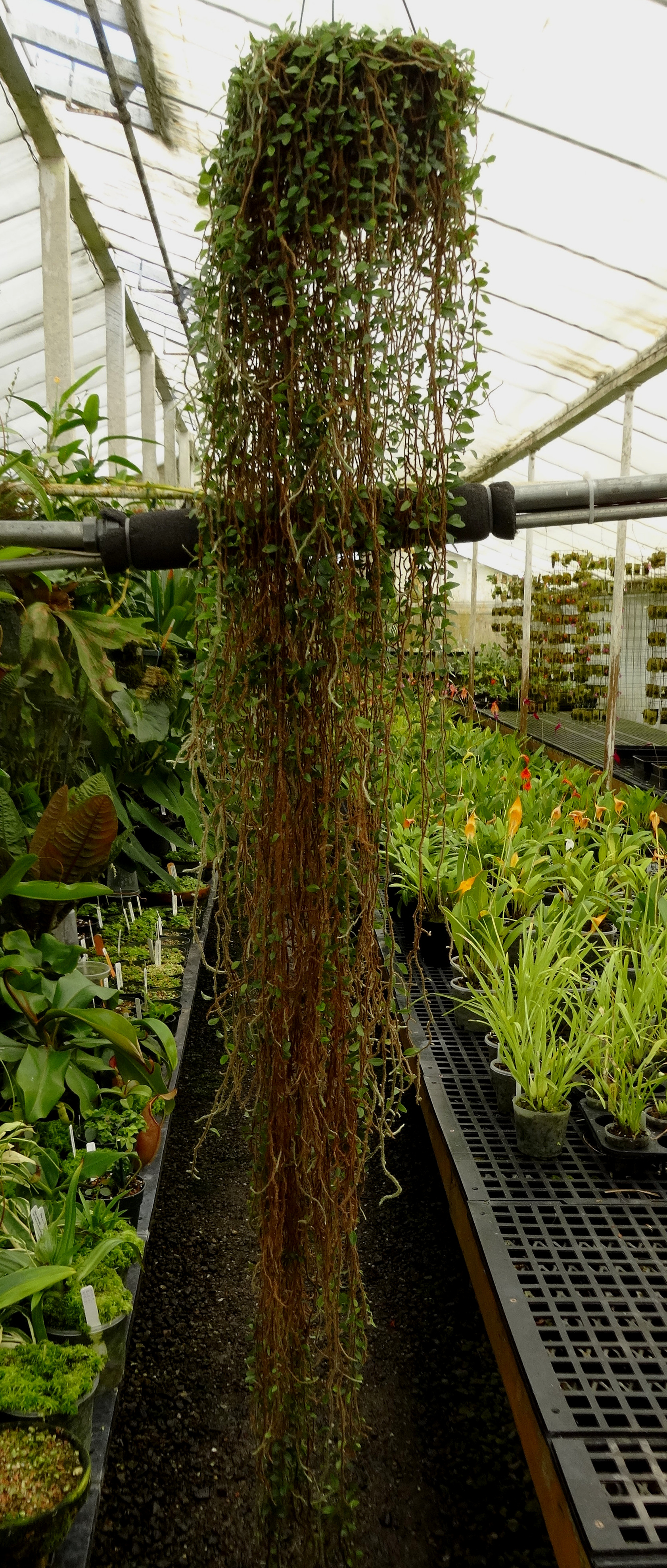 "An 8'/2.45 m long  Microgramma vaccinifolia  grown in a California greenhouse in a 10""/25 cm pot. This snakefern has had ~12""/30 cm trimmed from the ends of its longest fronds."