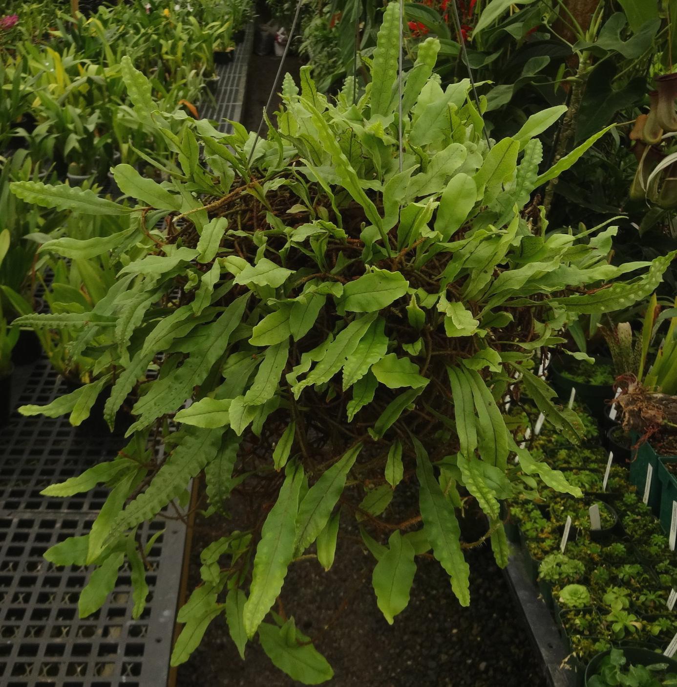 Mature specimen plant of  Microgramma brunei  in a California greenhouse.