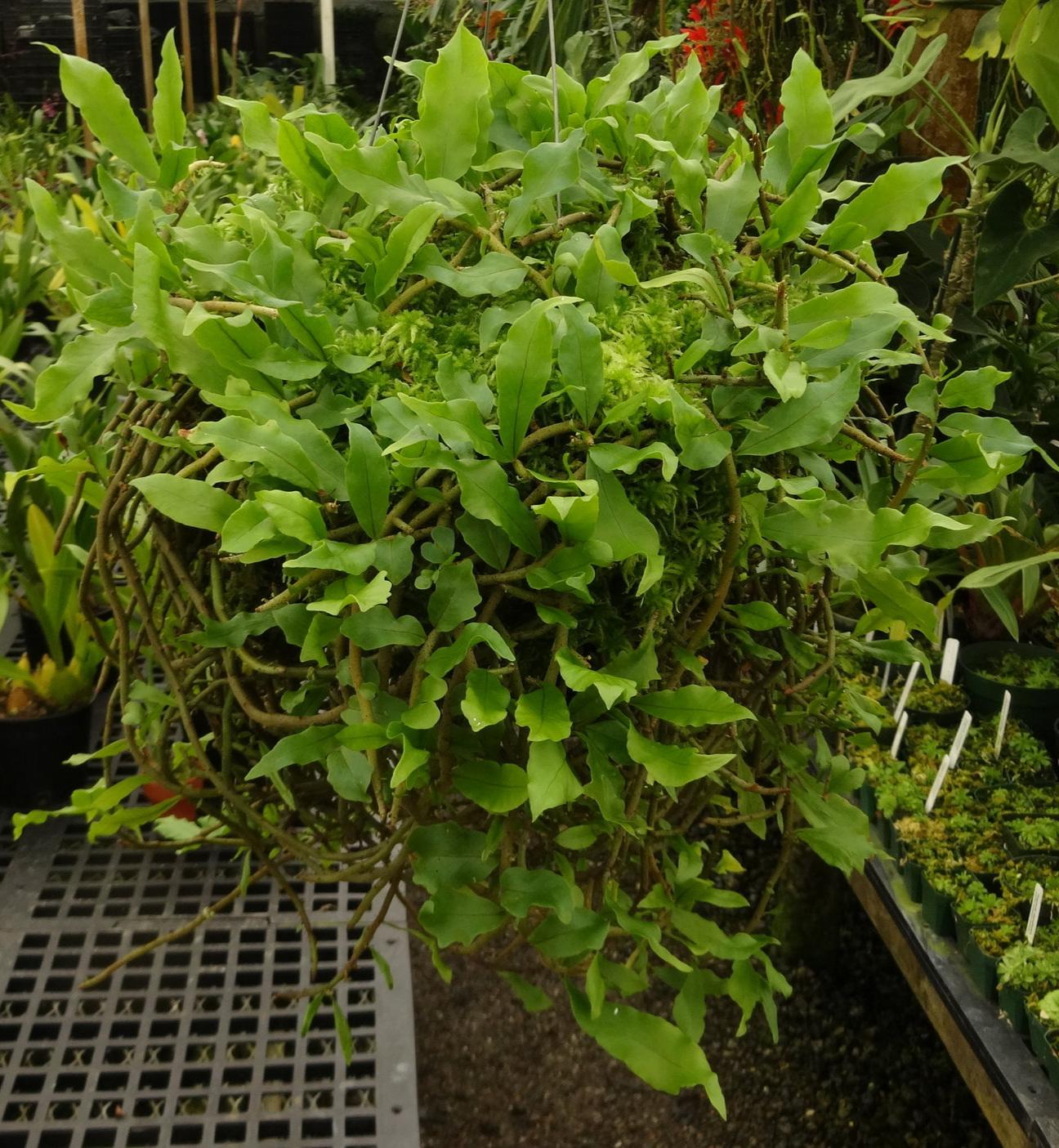 A mature specimen of  Microgramma bismarckii  cultivated in a cool California greenhouse.