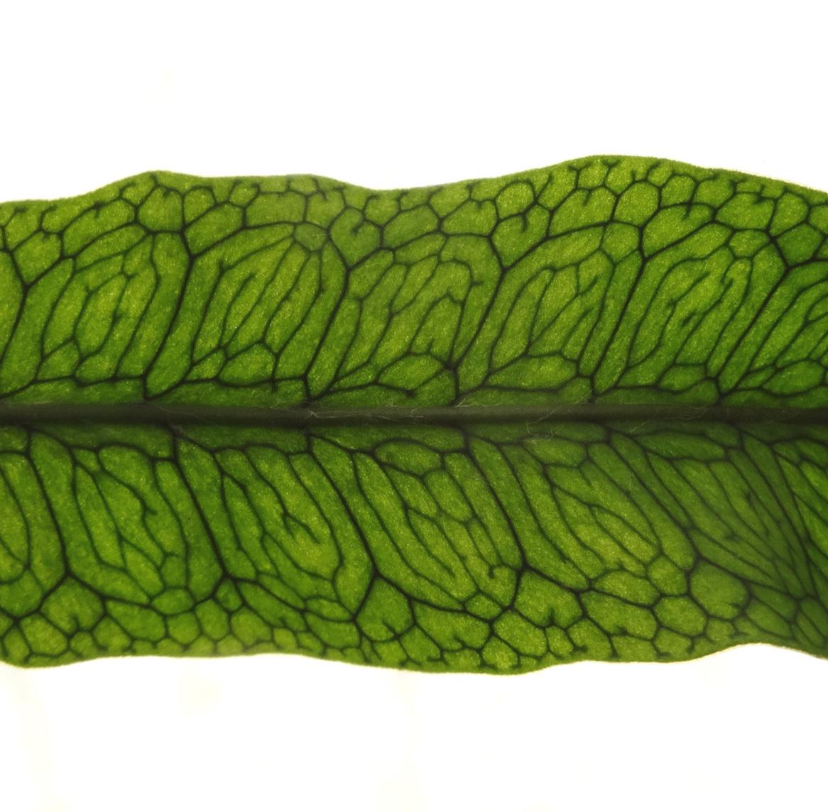 Microgramma+squamulosa+frond+detail.jpg