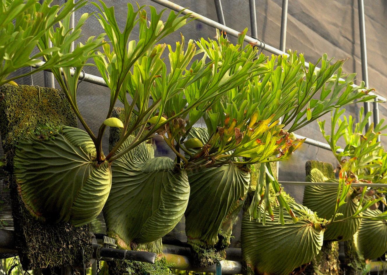 Ridley/'s staghorn fern Platycerium ridleyi spores